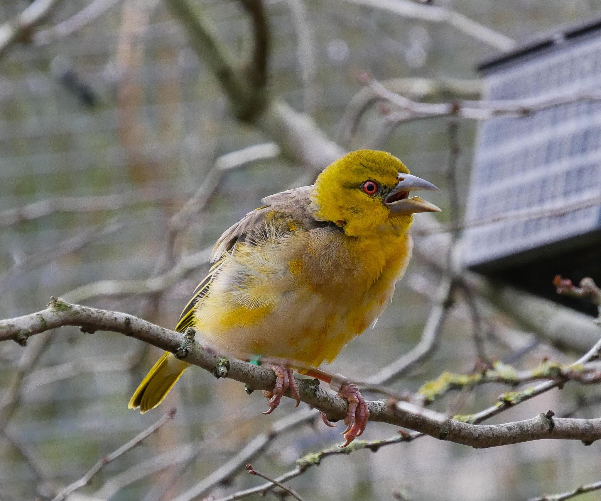 Village Weaver Bird by Seymour White