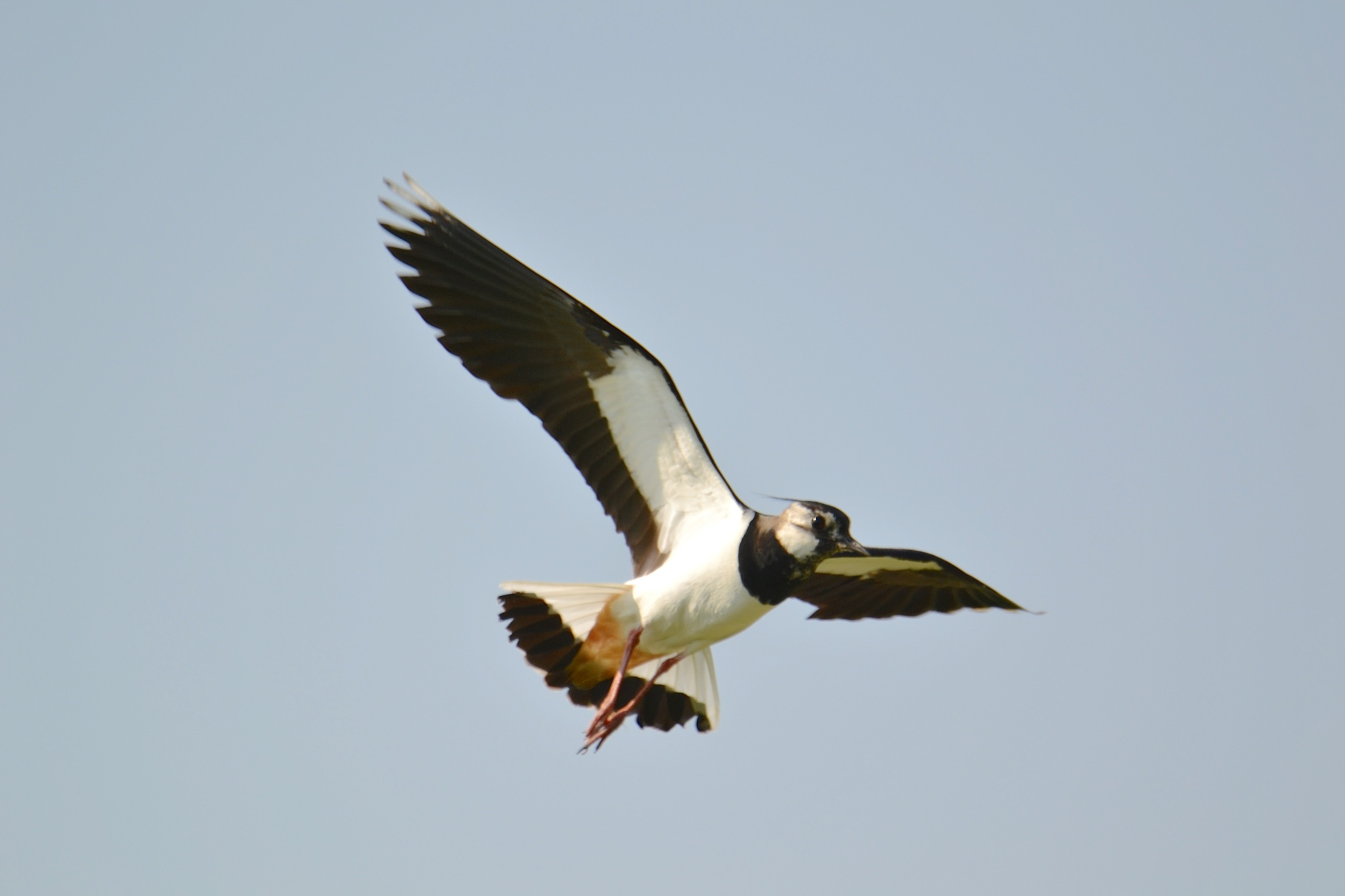 Lapwing by AlanWilliams