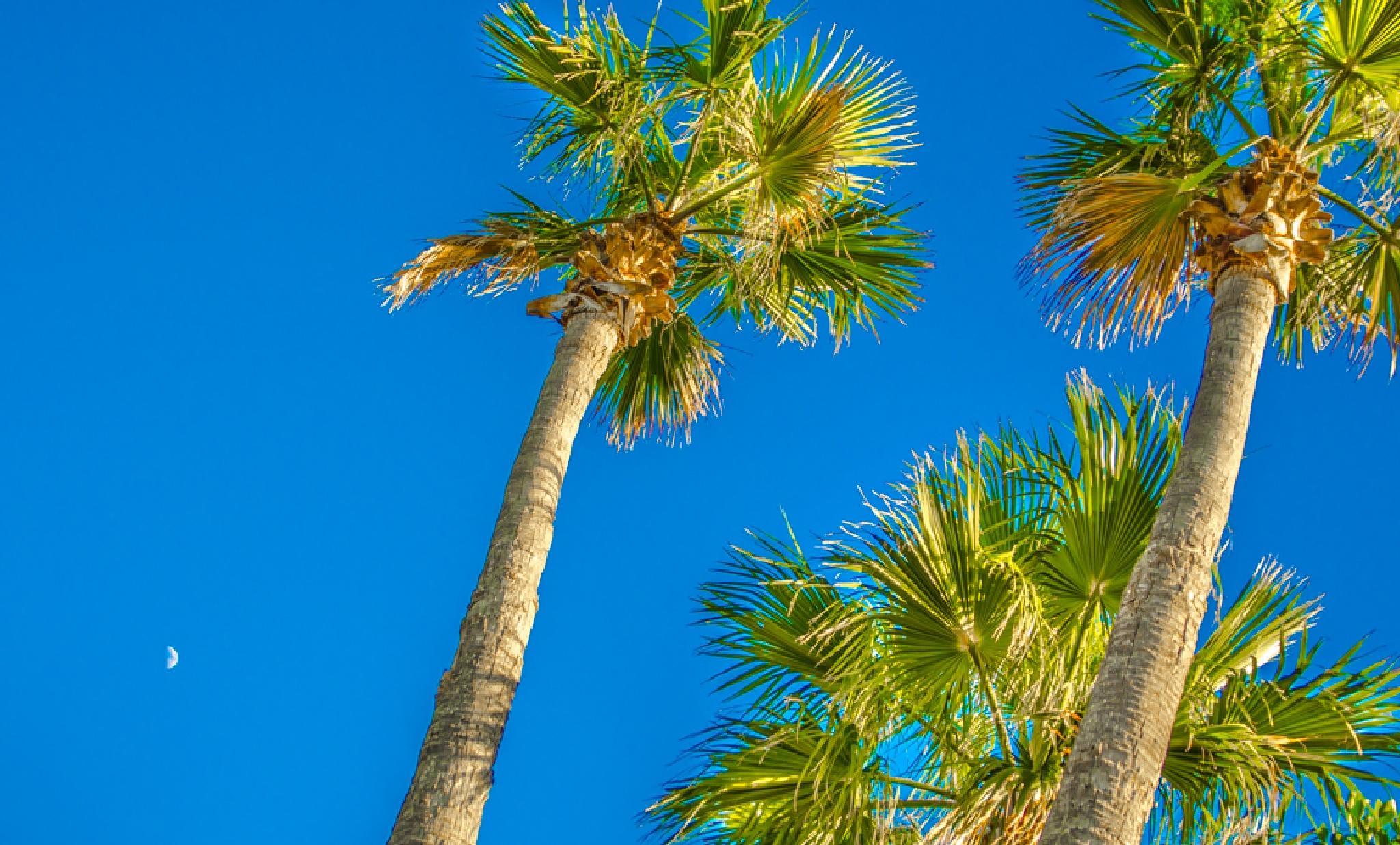 The palms, the moon, the sun .  by David Holderbach