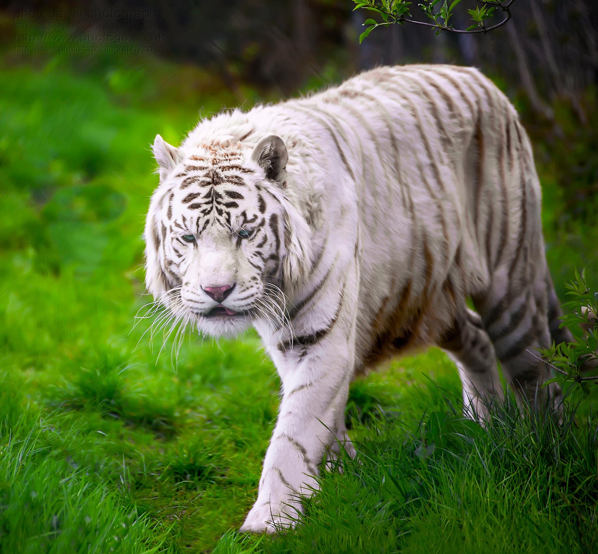 Shere Khan by photogaphotography
