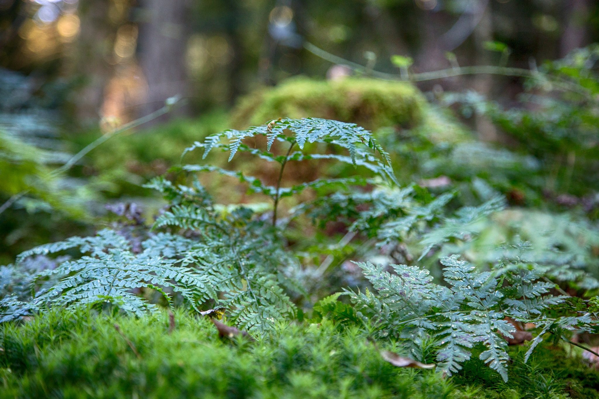 Forest Fern by photogaphotography