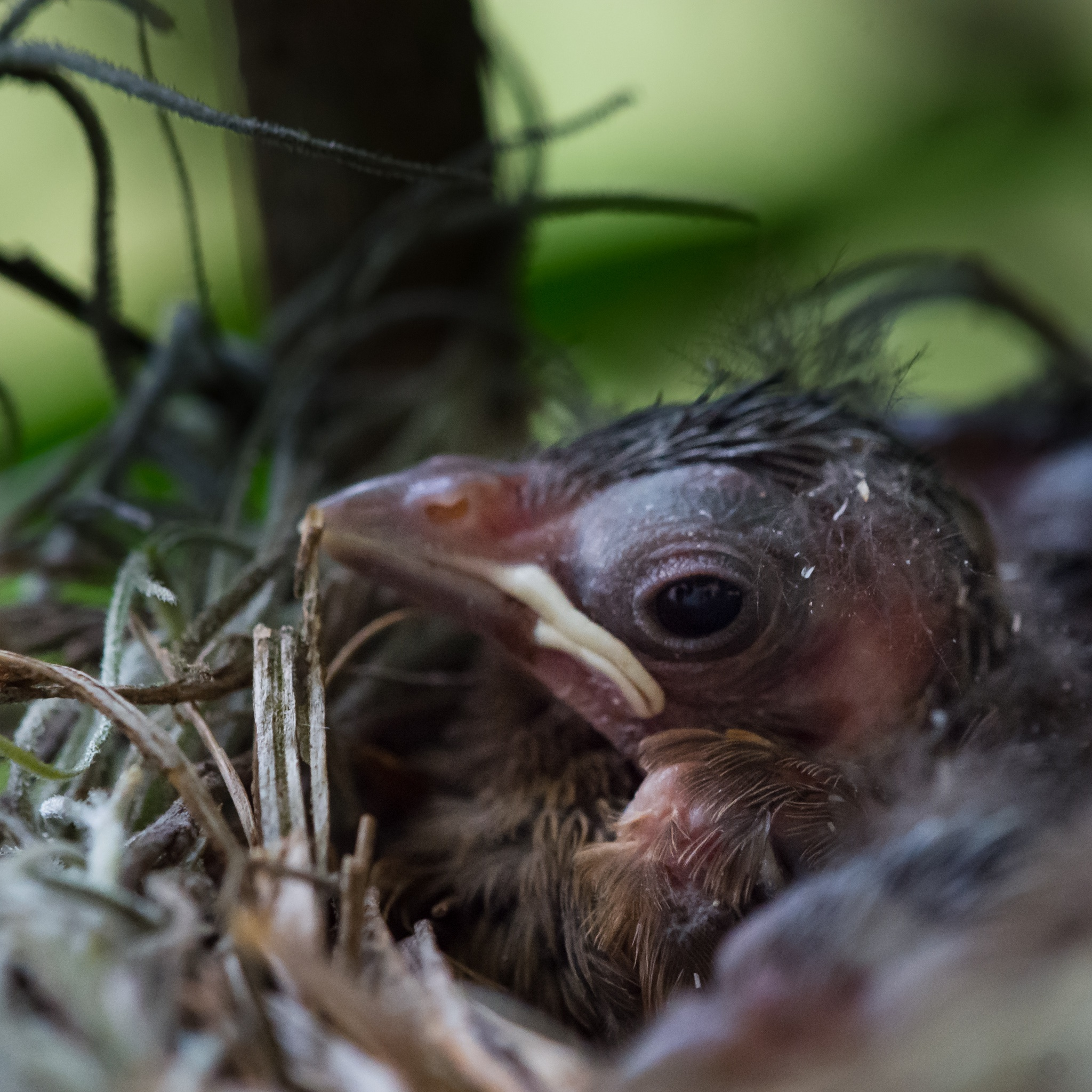 Baby Cardinal by speedofmyshutter