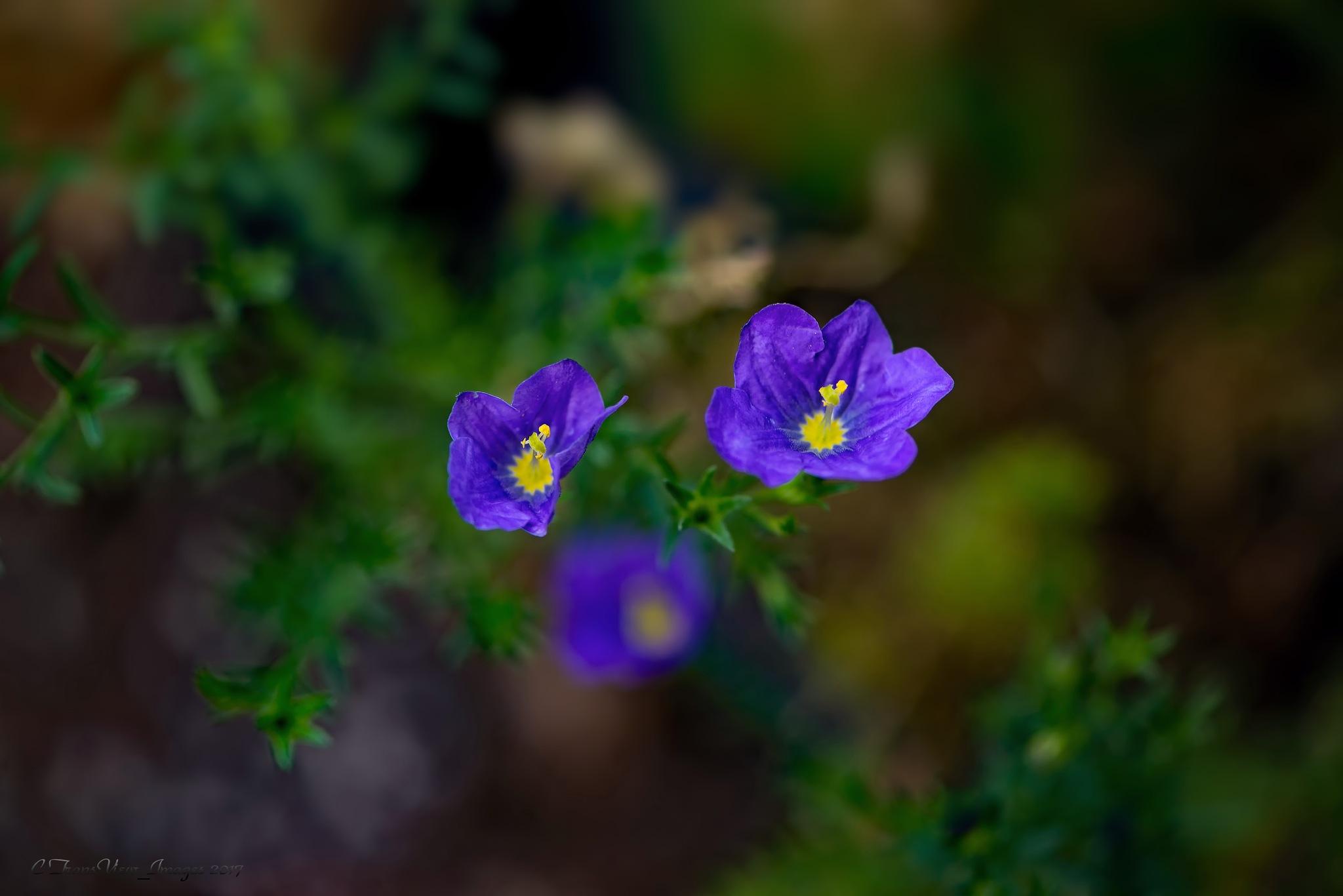 Cute tiny purple  flower by Transfiguracion Images