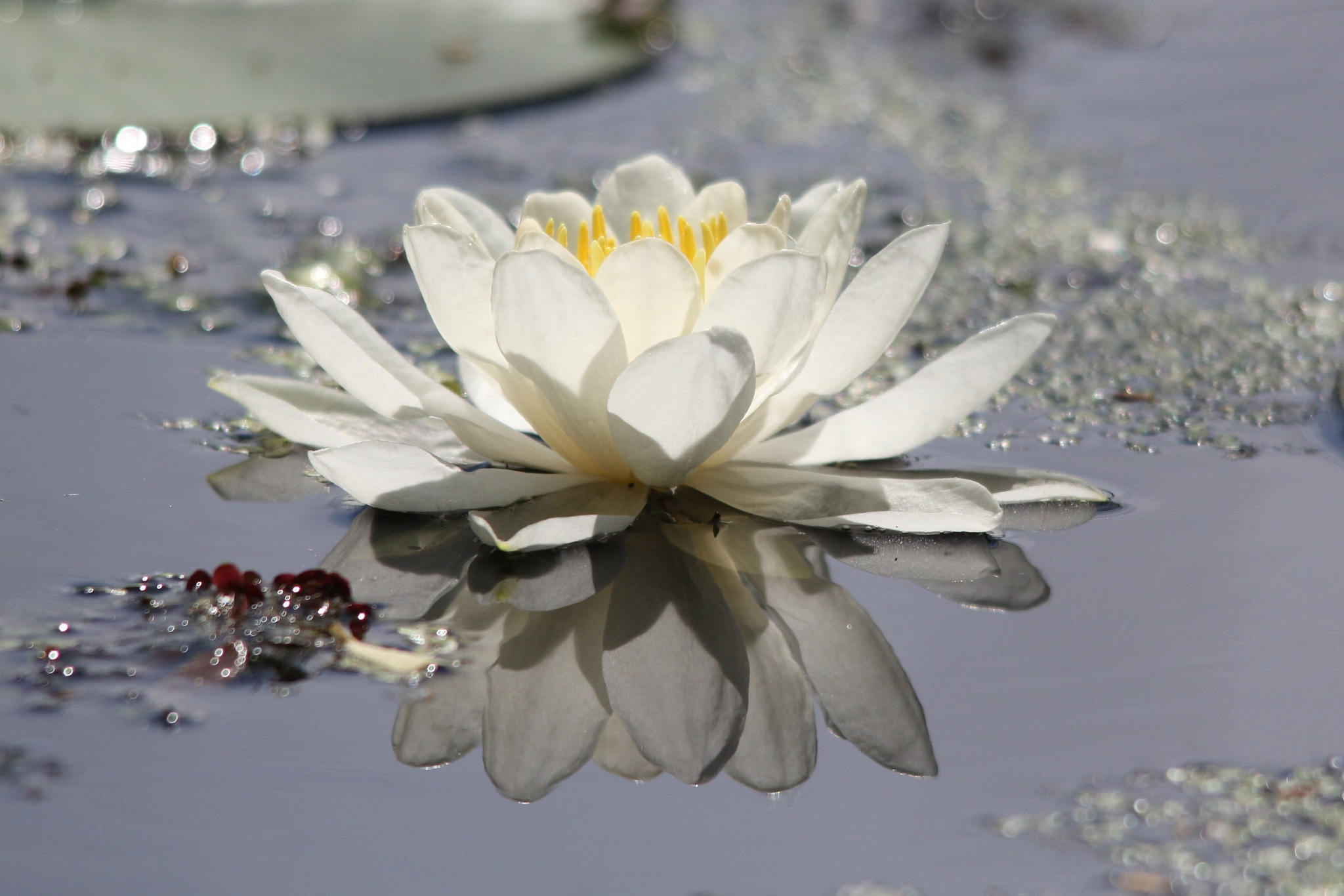 Photo in Nature #waterlily #white #reflection #pond