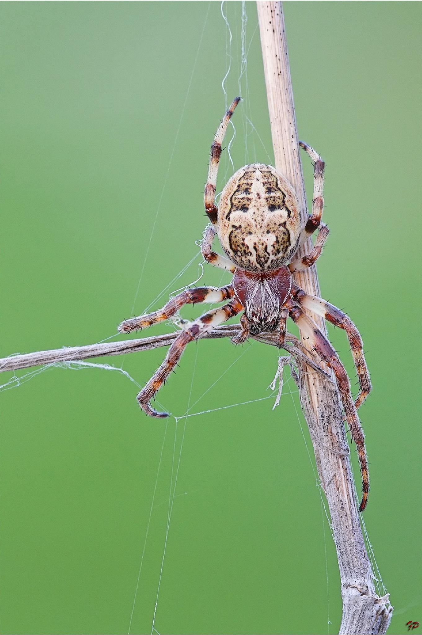 Spider by Fabio Pisciotta
