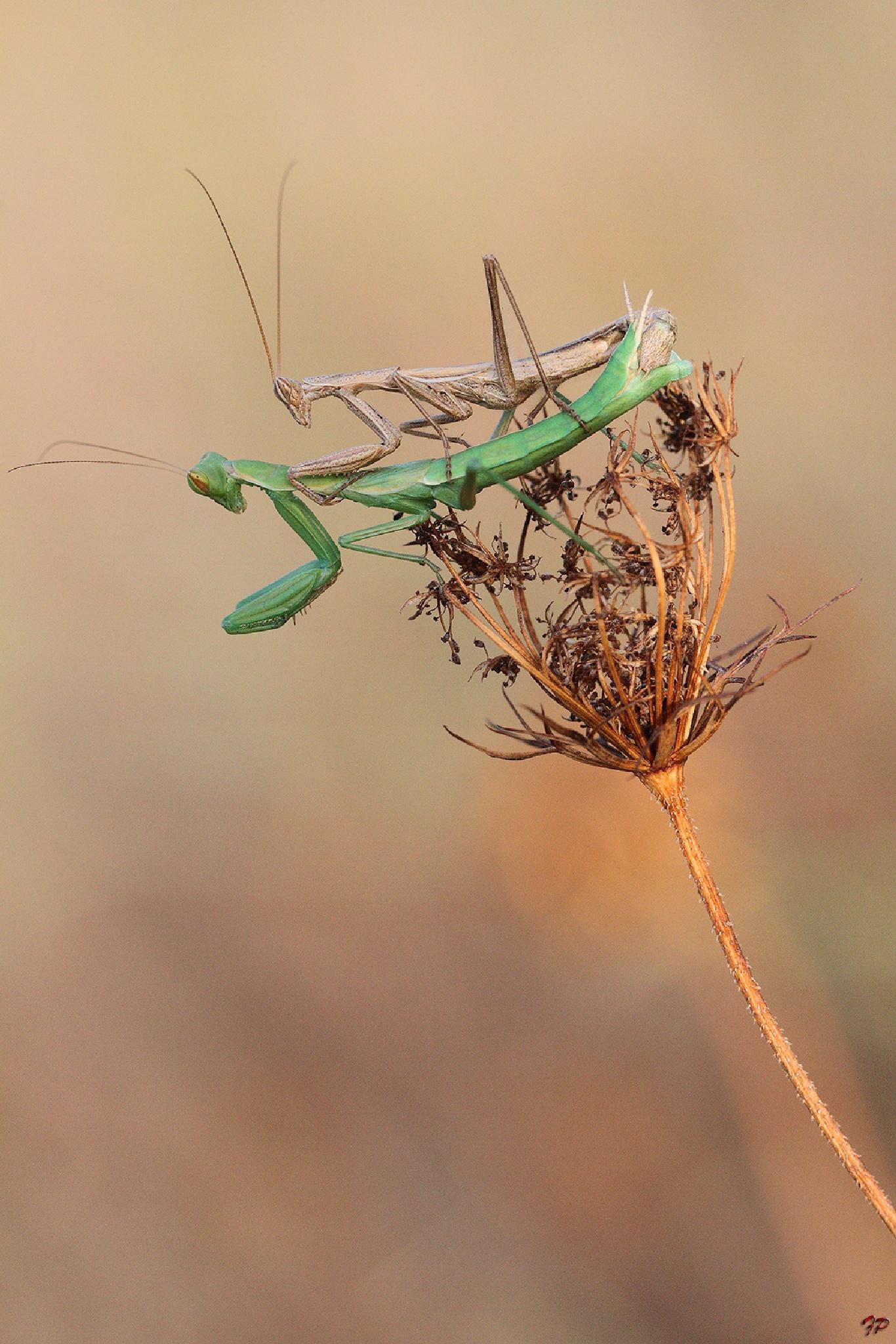 Mantis by Fabio Pisciotta