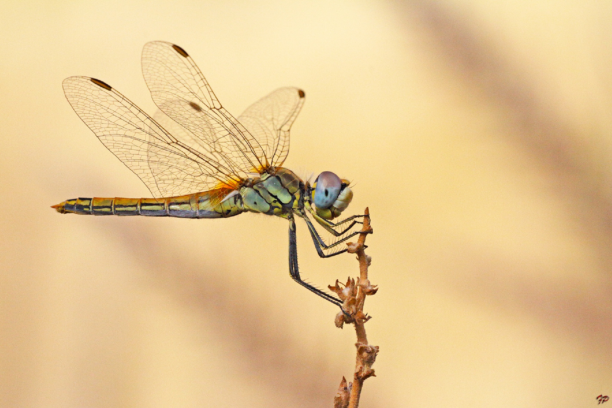 dragonfly by Fabio Pisciotta