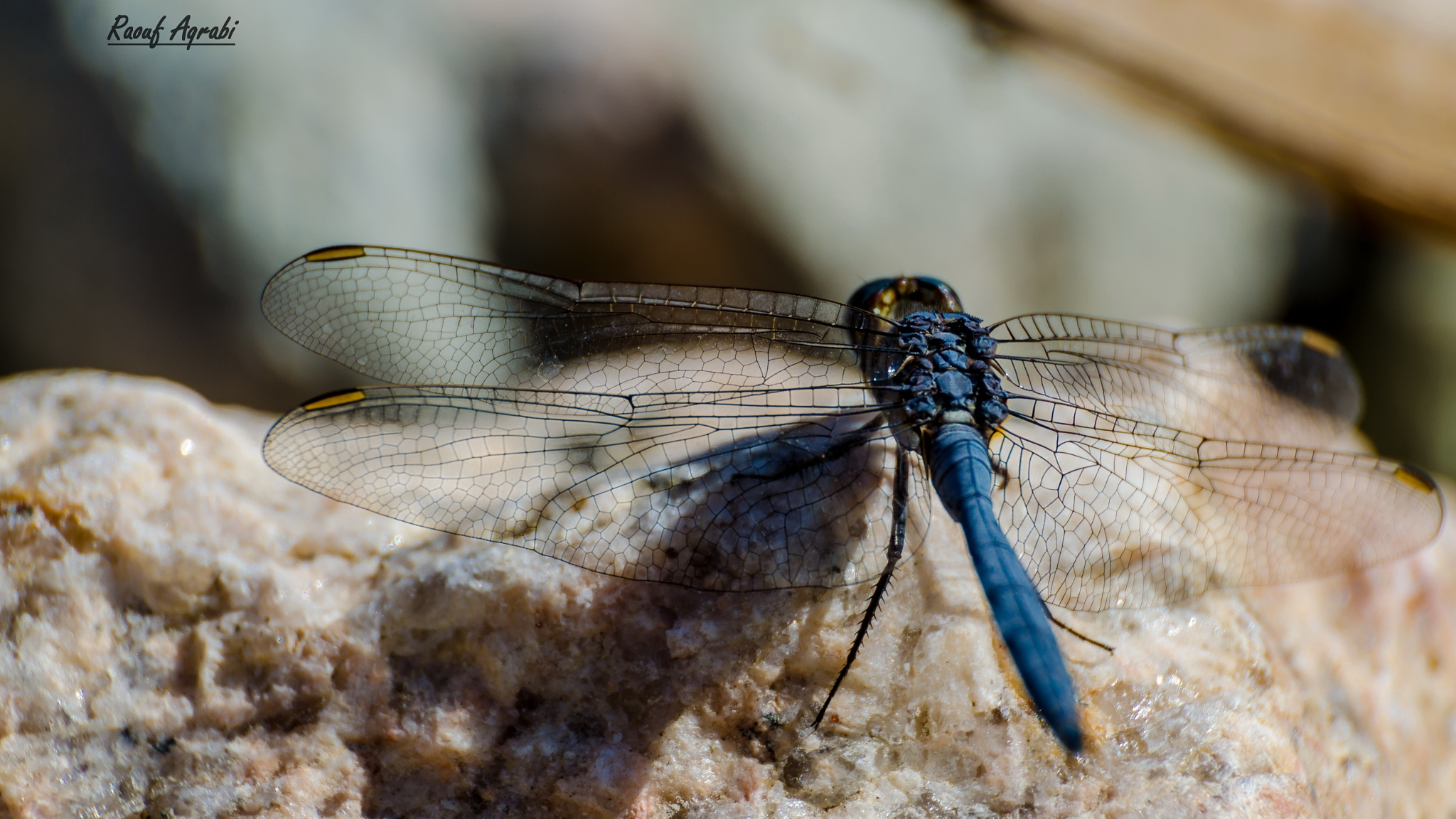 The blue Dragonfly  by Raouf Aqrabi