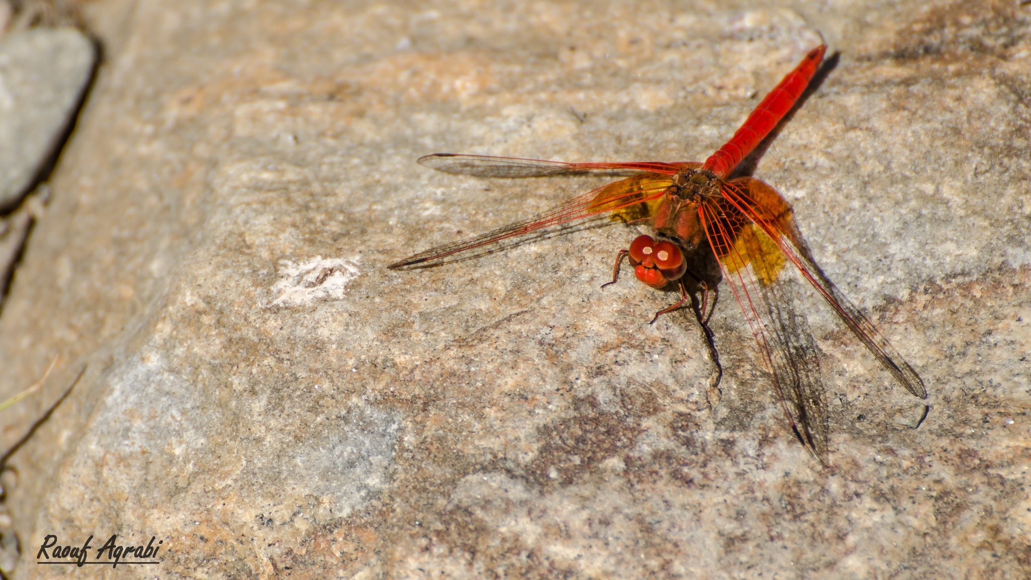 Red Dragonfly  by Raouf Aqrabi