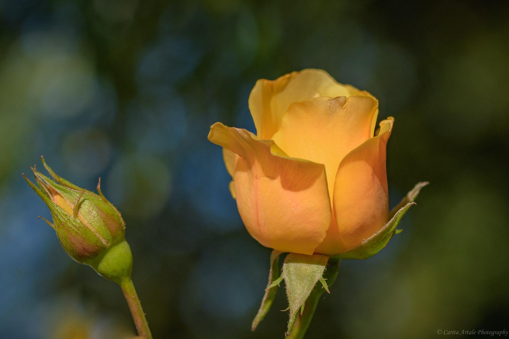Yellow rose by Carita