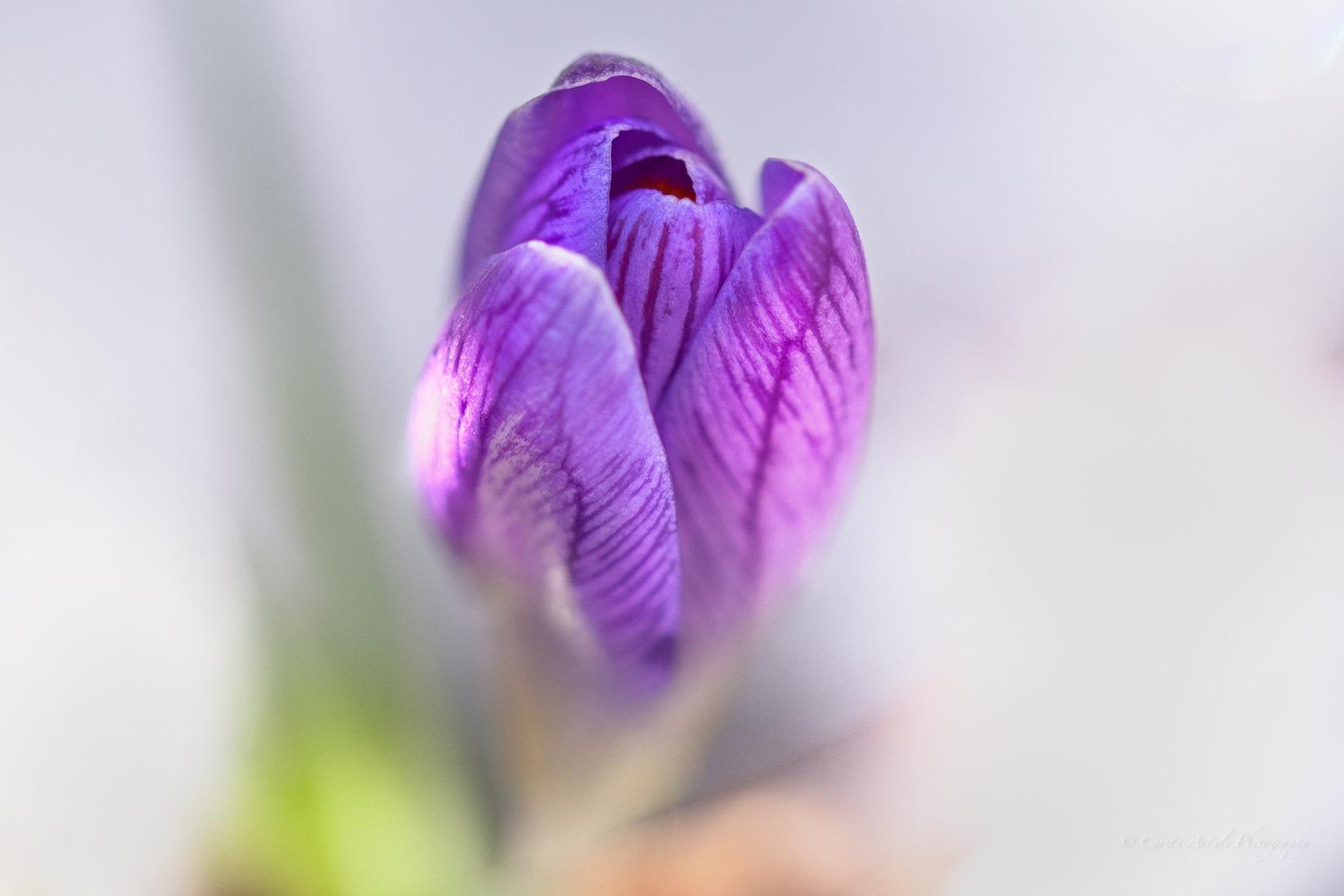 Violet Crocus  by Carita