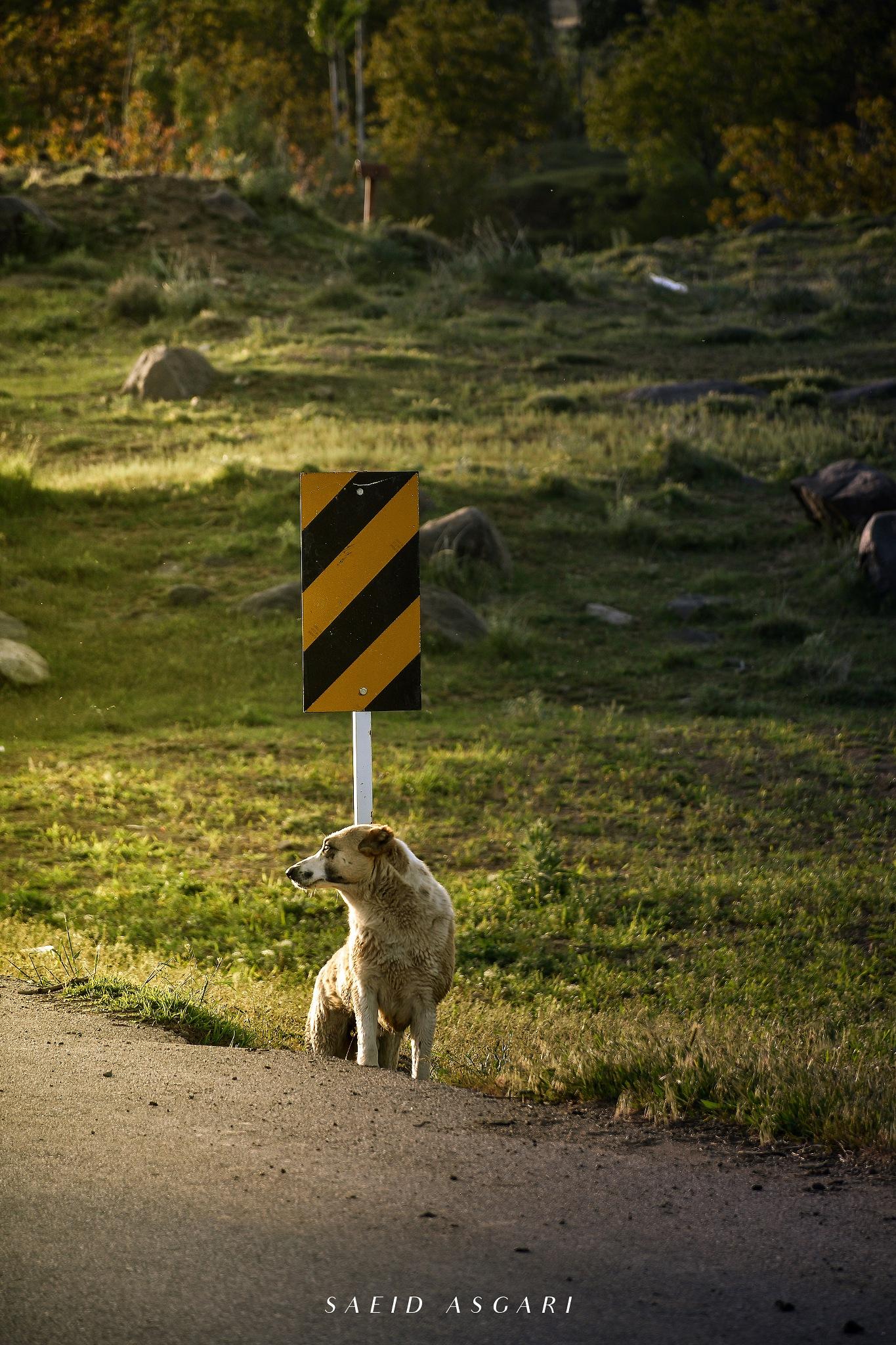 Dog ... by Saeid_Asgari