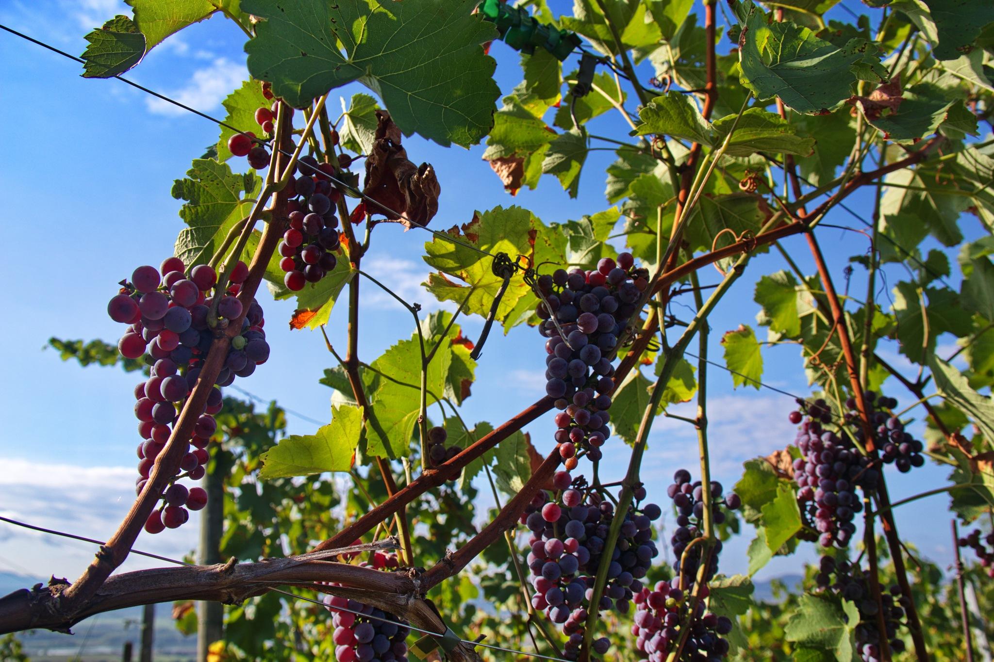 Wein / wine by Rolf-Dieter Balindt