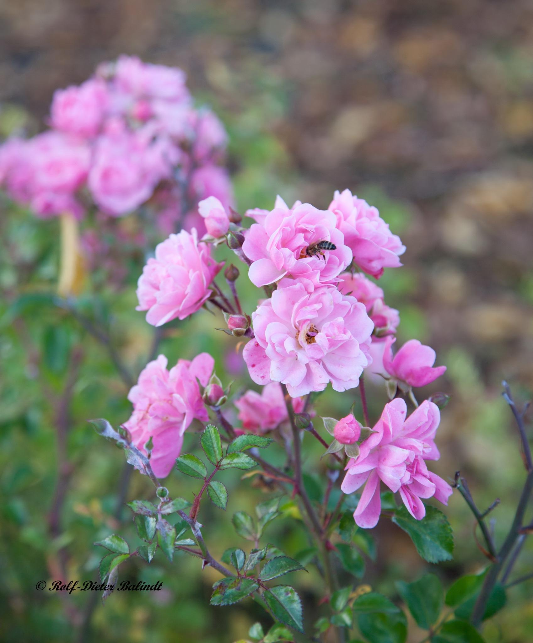 Blumen / Flowers by Rolf-Dieter Balindt