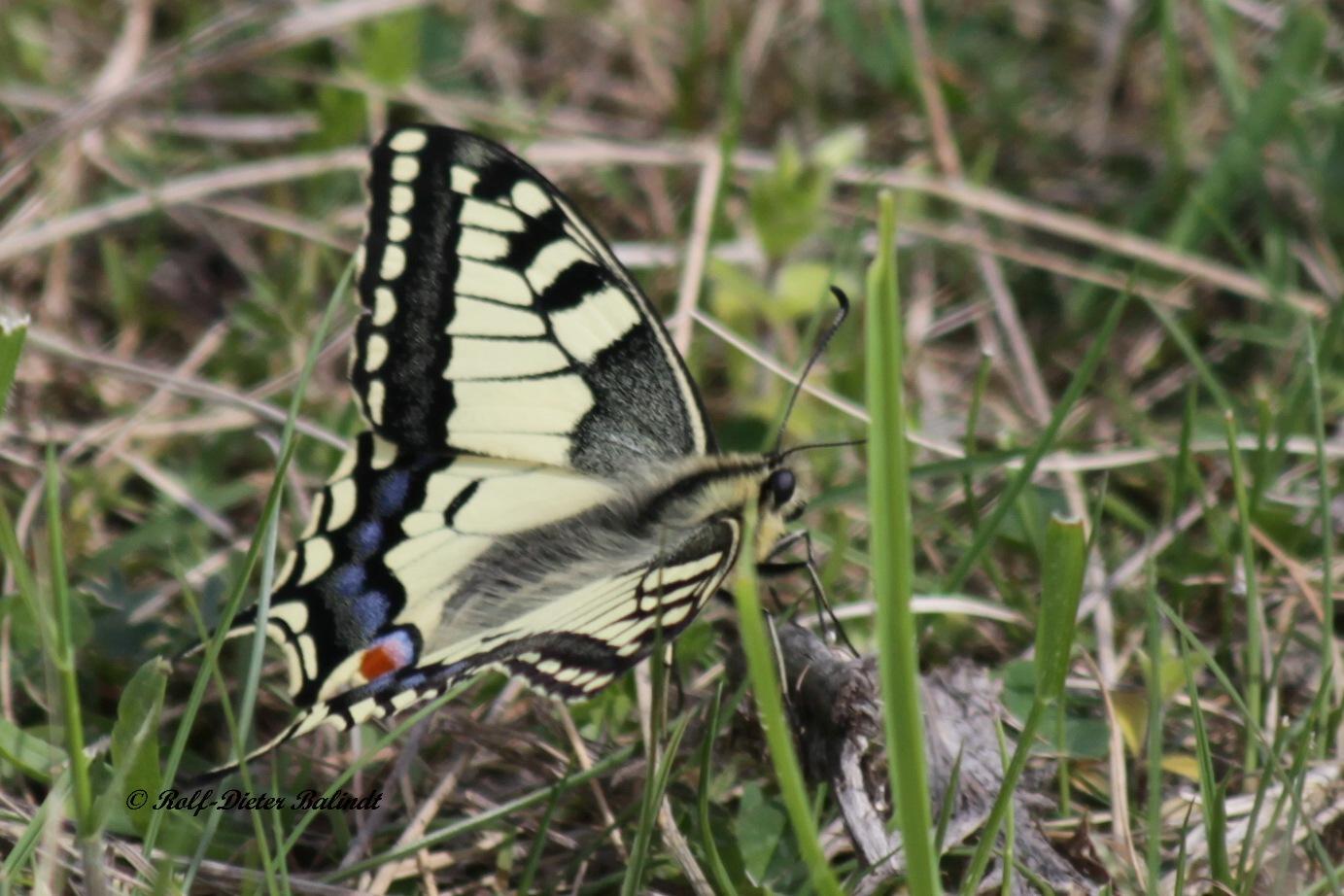 Schmetterling / Butterfly by Rolf-Dieter Balindt