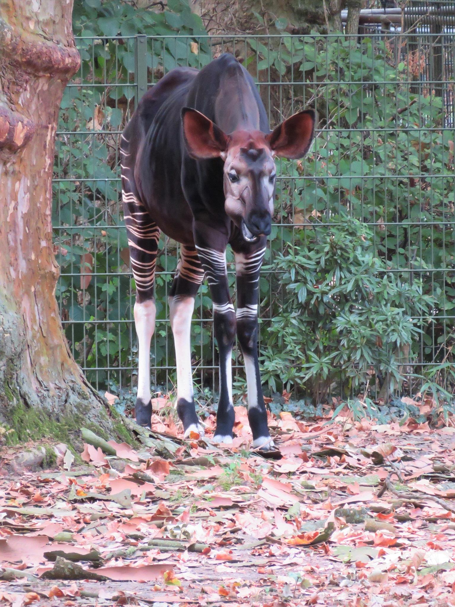 Okapi by Rolf-Dieter Balindt
