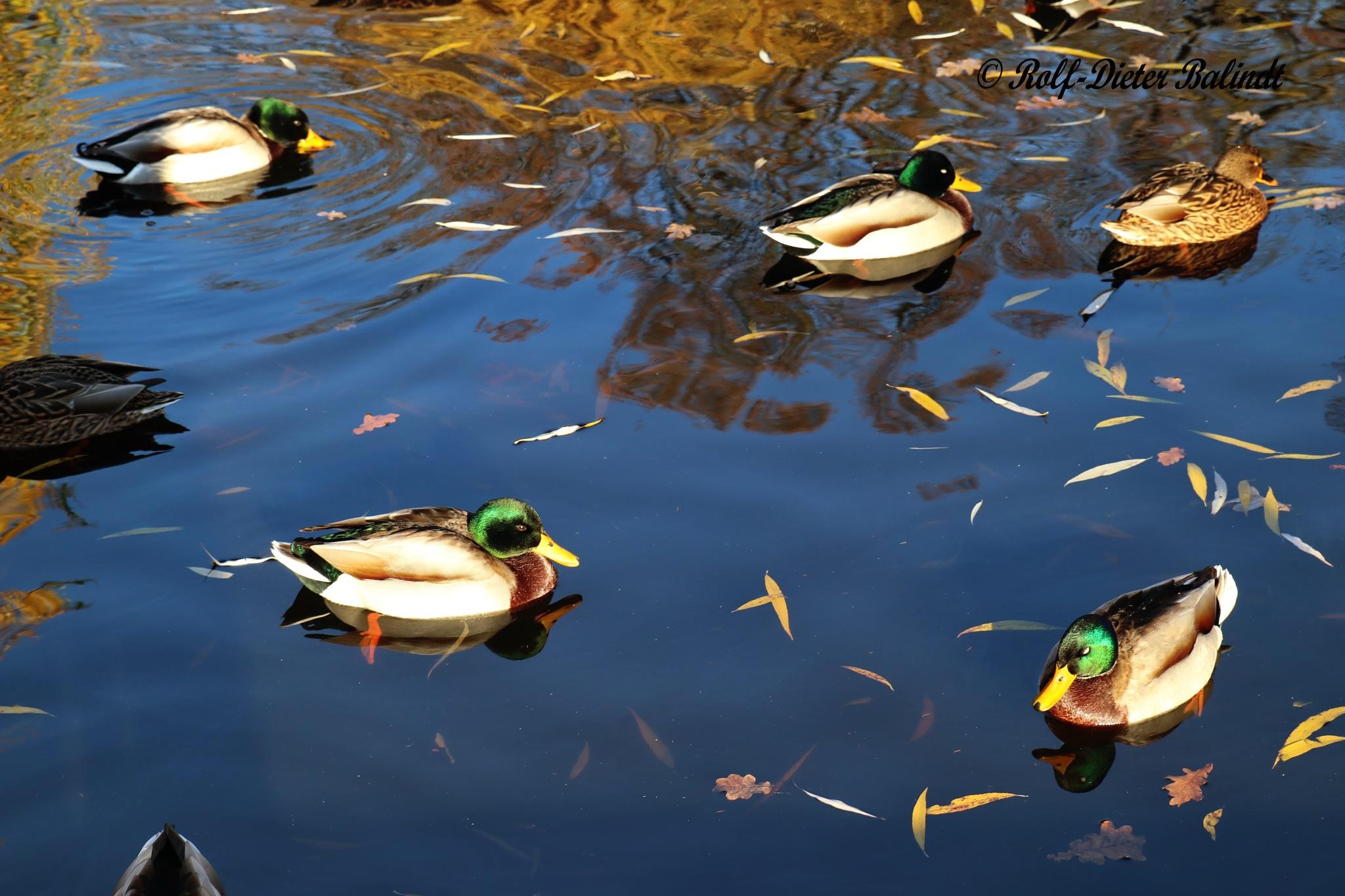 Ducks / Enten by Rolf-Dieter Balindt