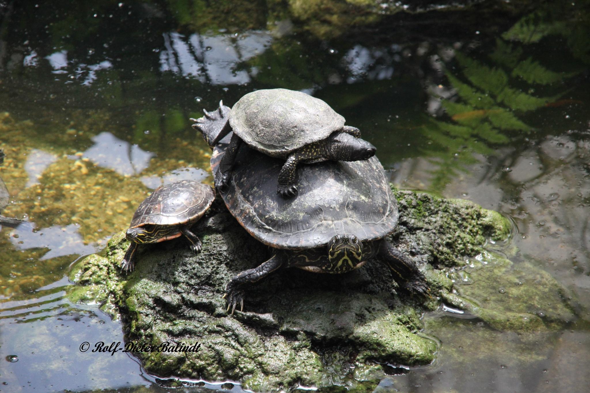 Turtle by Rolf-Dieter Balindt