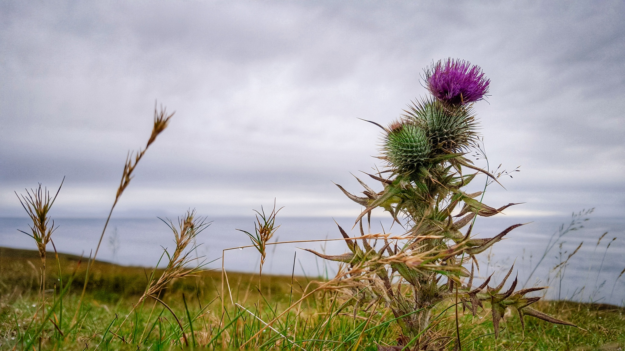 Scottish thistle by D Green