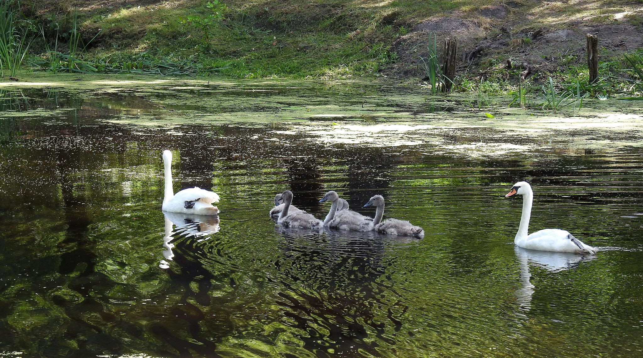 The swan family by Bob66
