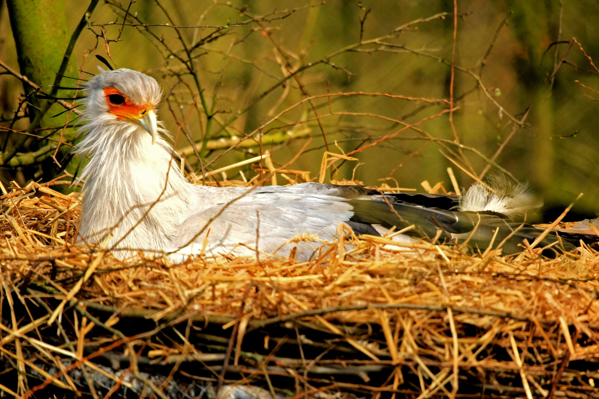 Secretary bird on nest by Bob66