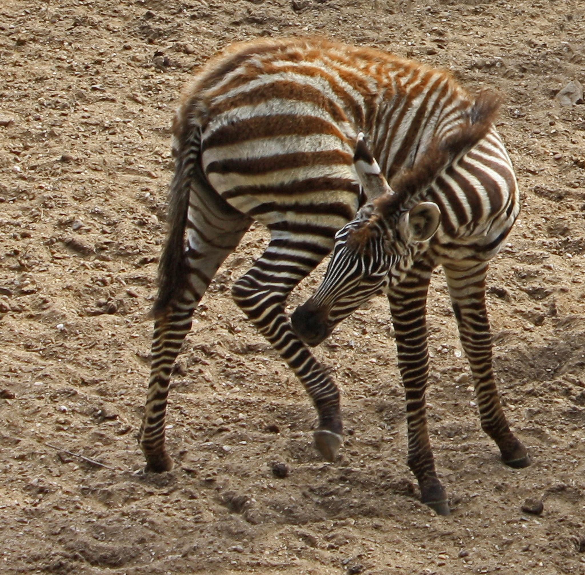 The little Zebra by Bob66
