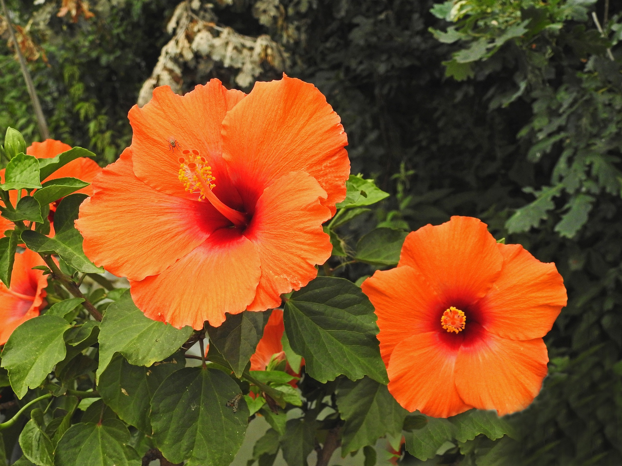 Hibiscus by Bob66