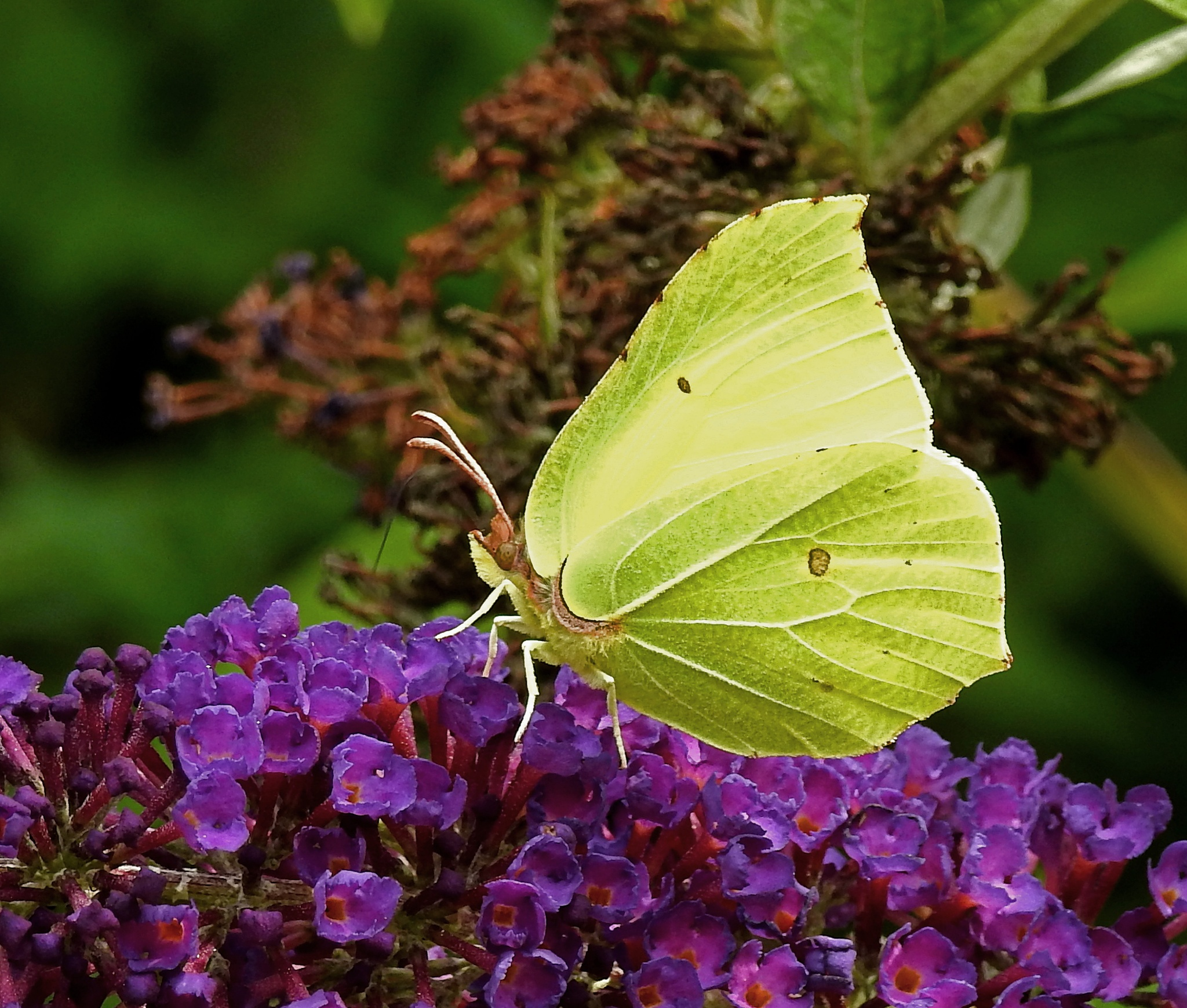 Citron-butterfly, looks likes cabbage by Bob66