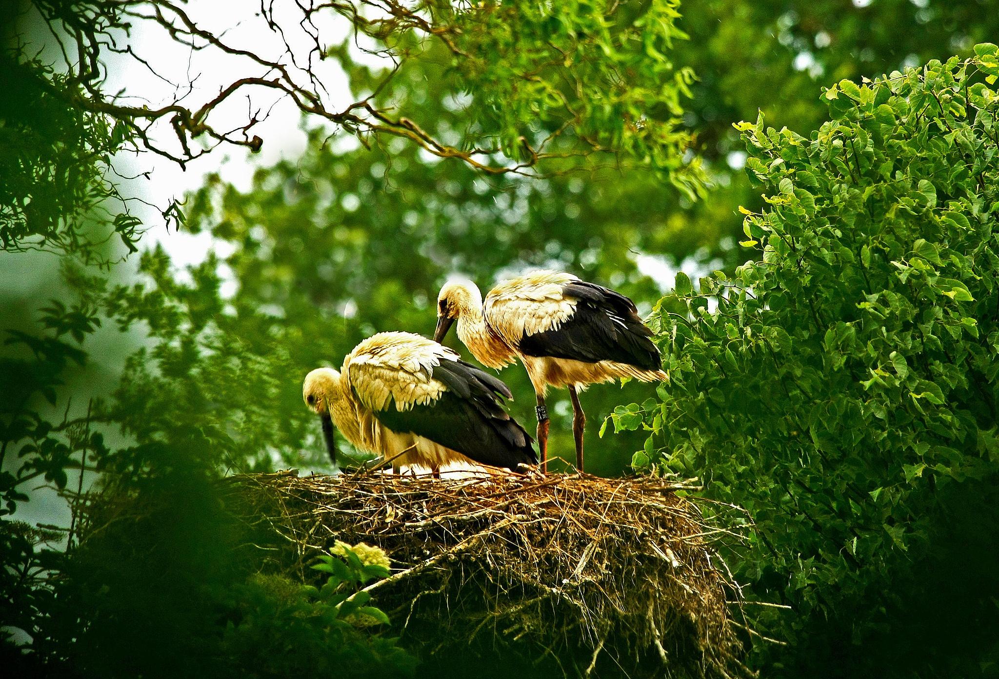 Storks on nest by Bob66