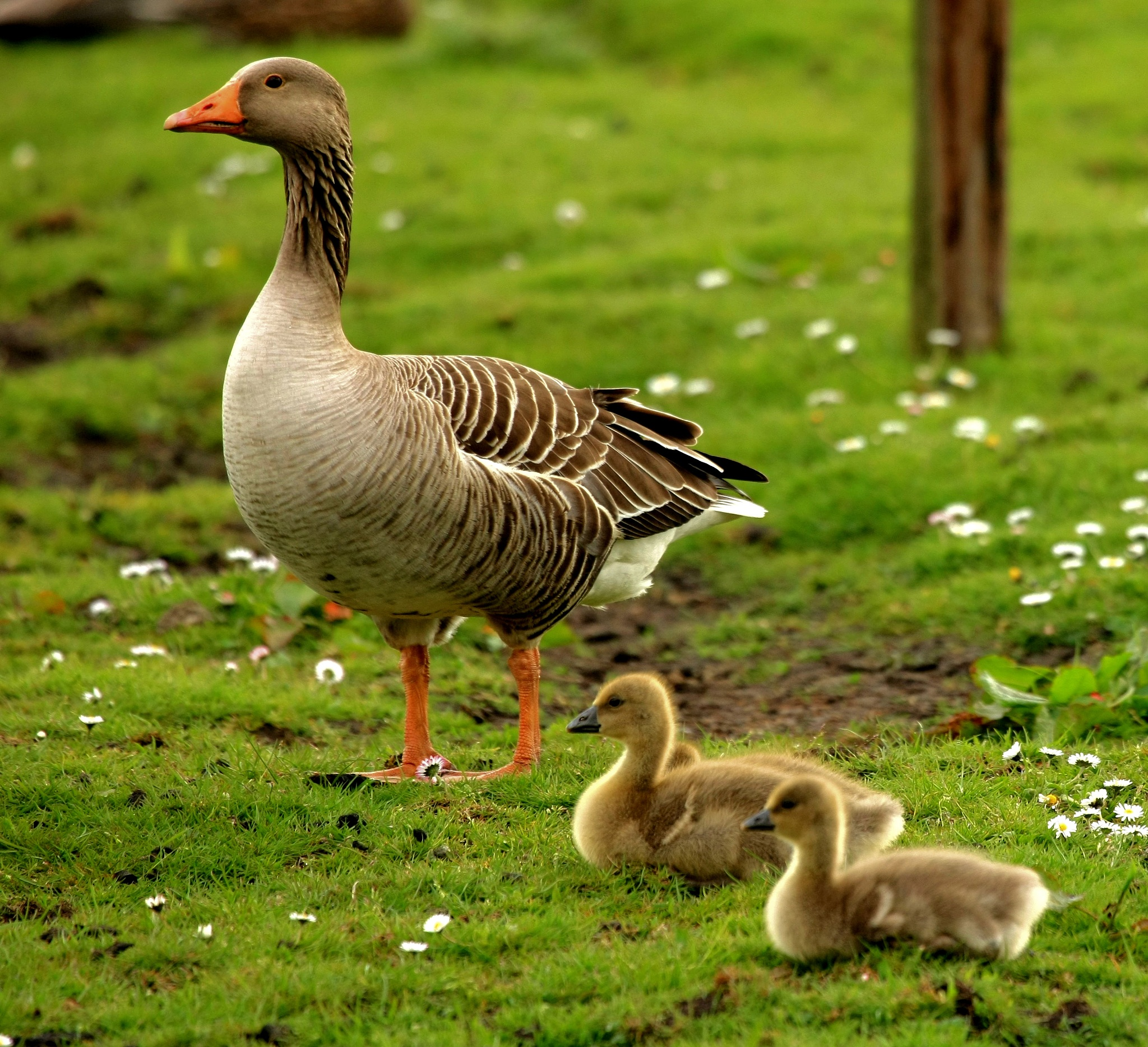 Photo in Animal #goose #bird