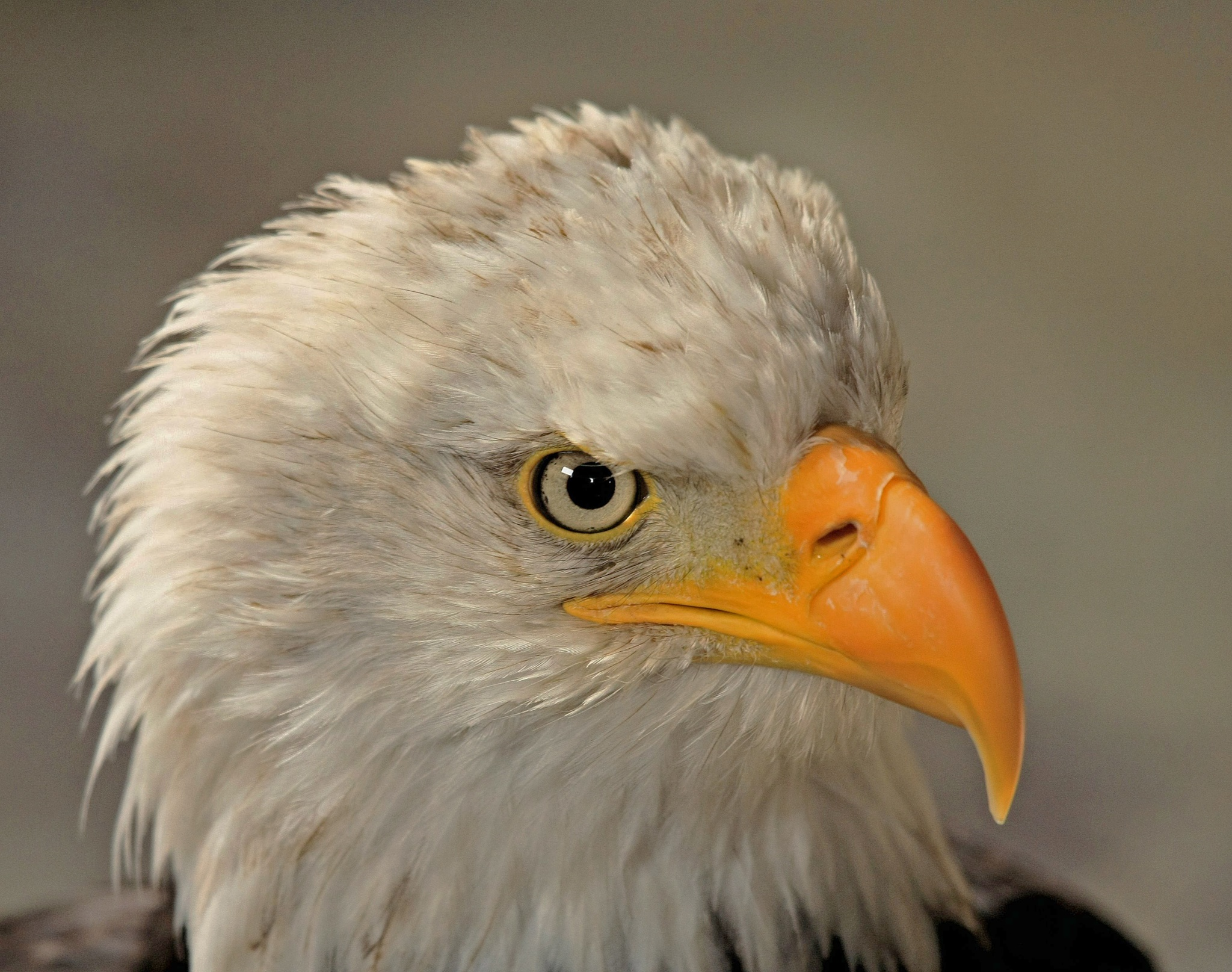 Portrait of the sea-eagle by Bob66