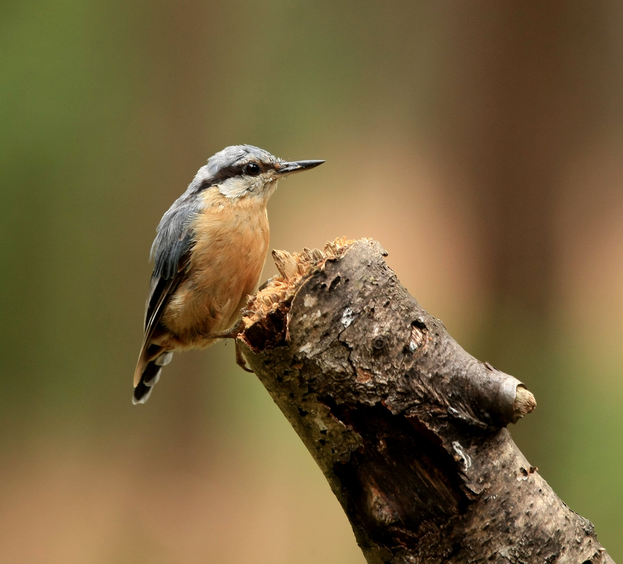 Nuthatch/Boomklever by Bob66