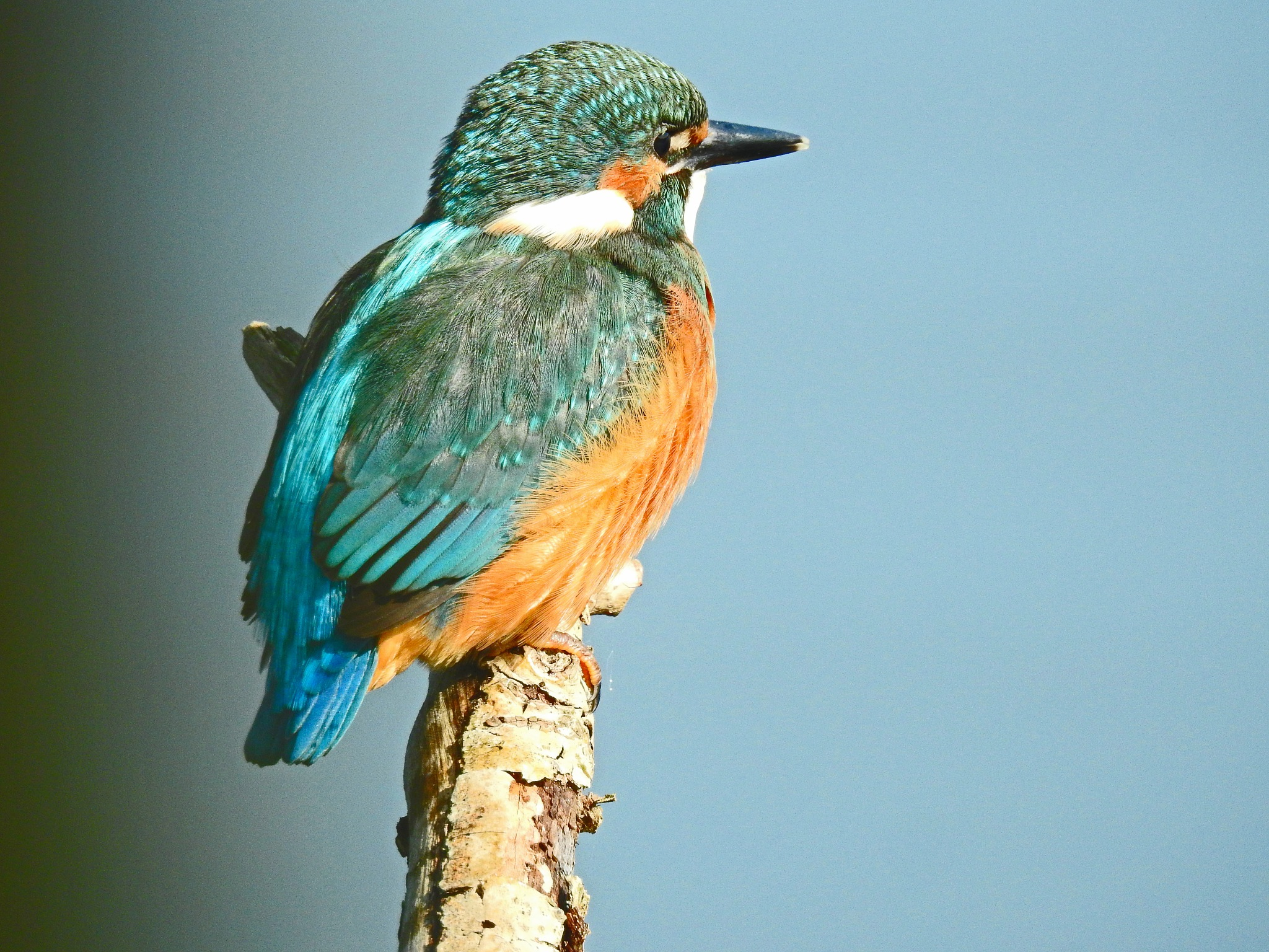 Kingfisher by Bob66