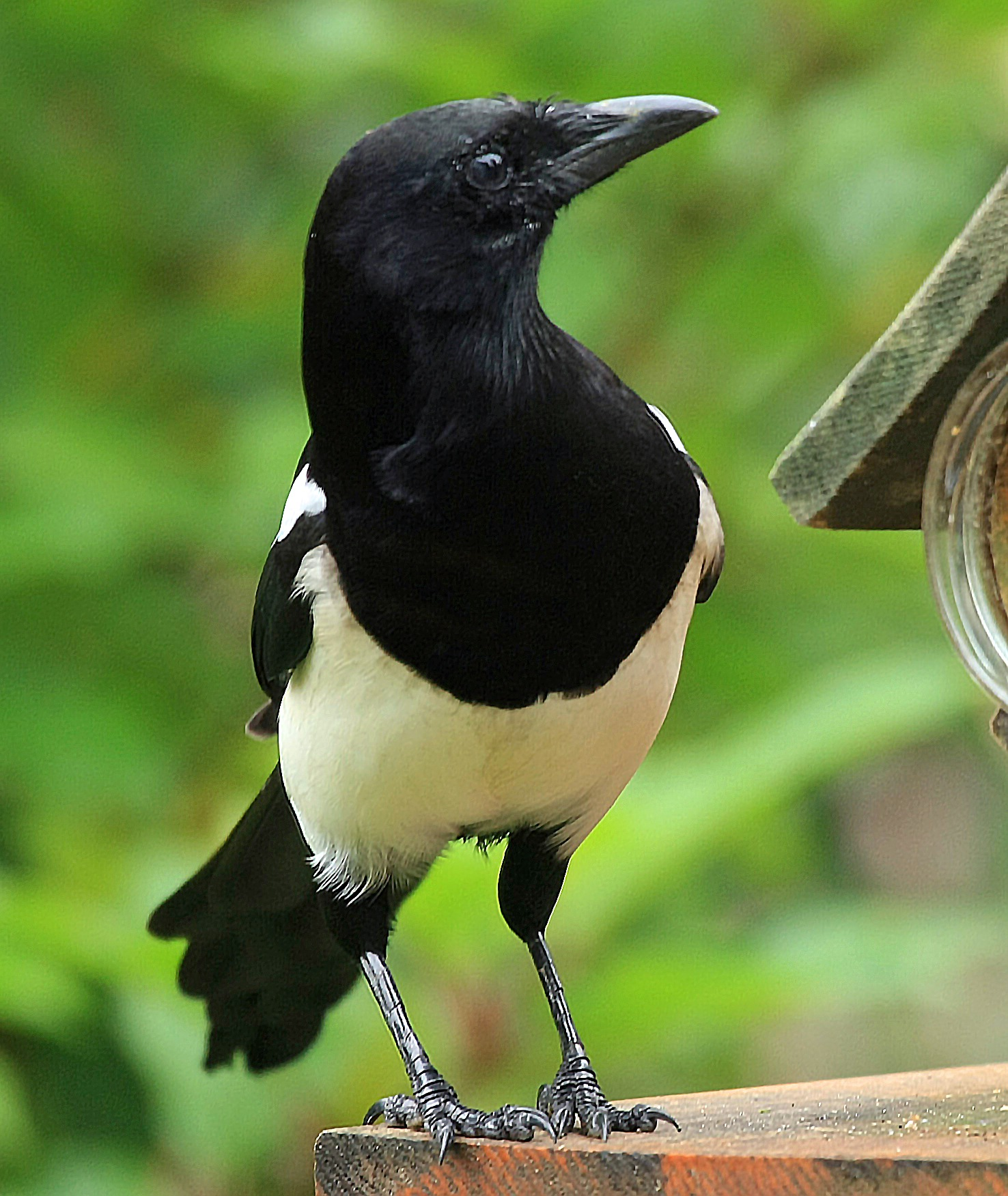 Magpie by Bob66