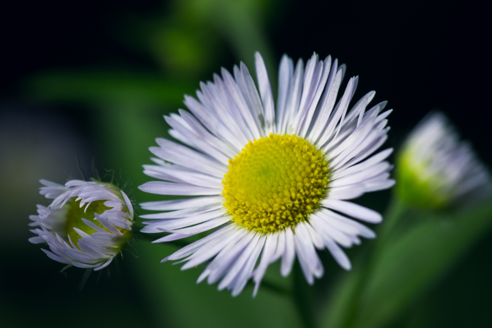 Summer flower by Icethistle Photography