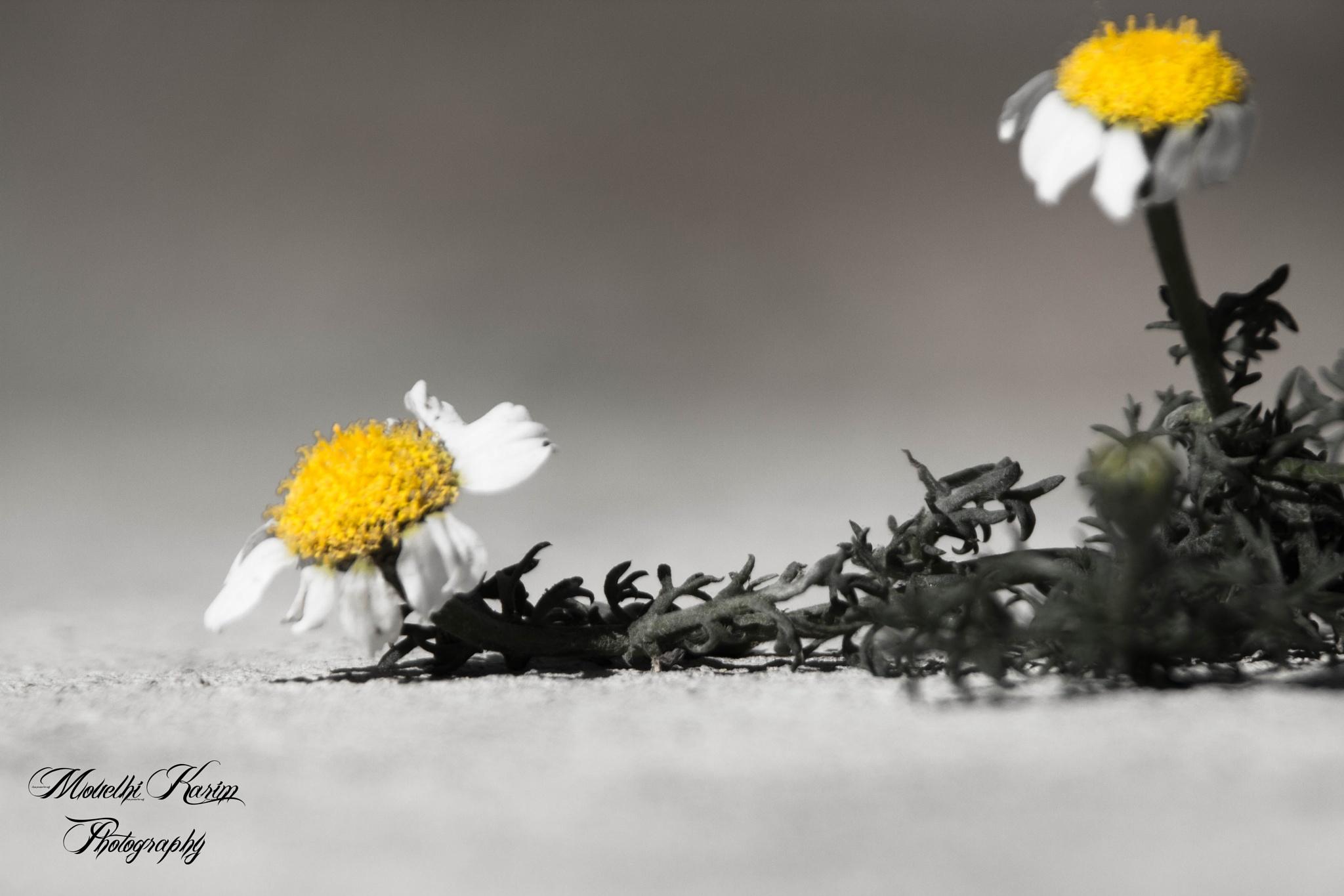 flower Chamomile by mouelhikarim