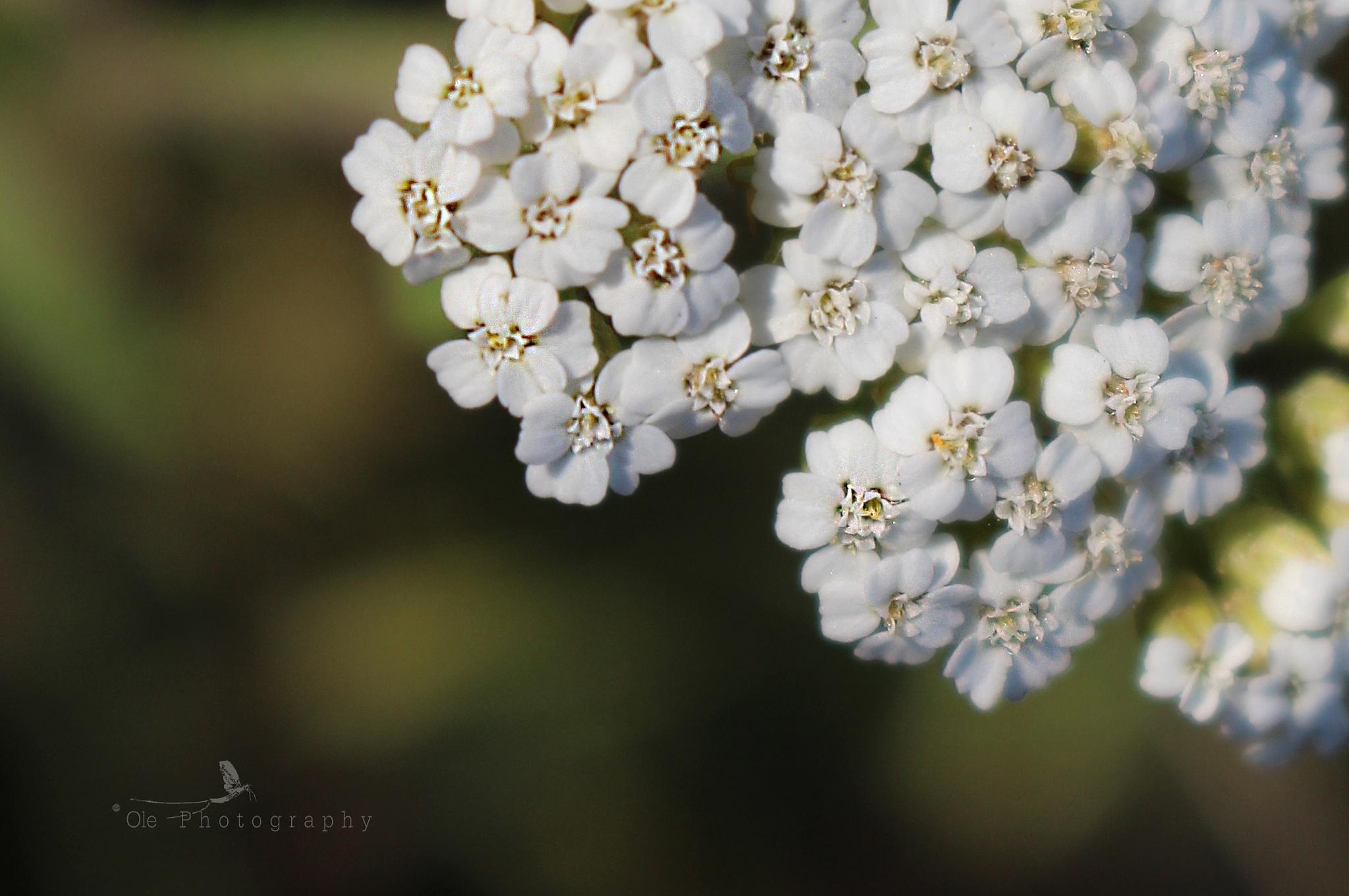 Yarrow - Achillea millefolium by OlePhotography