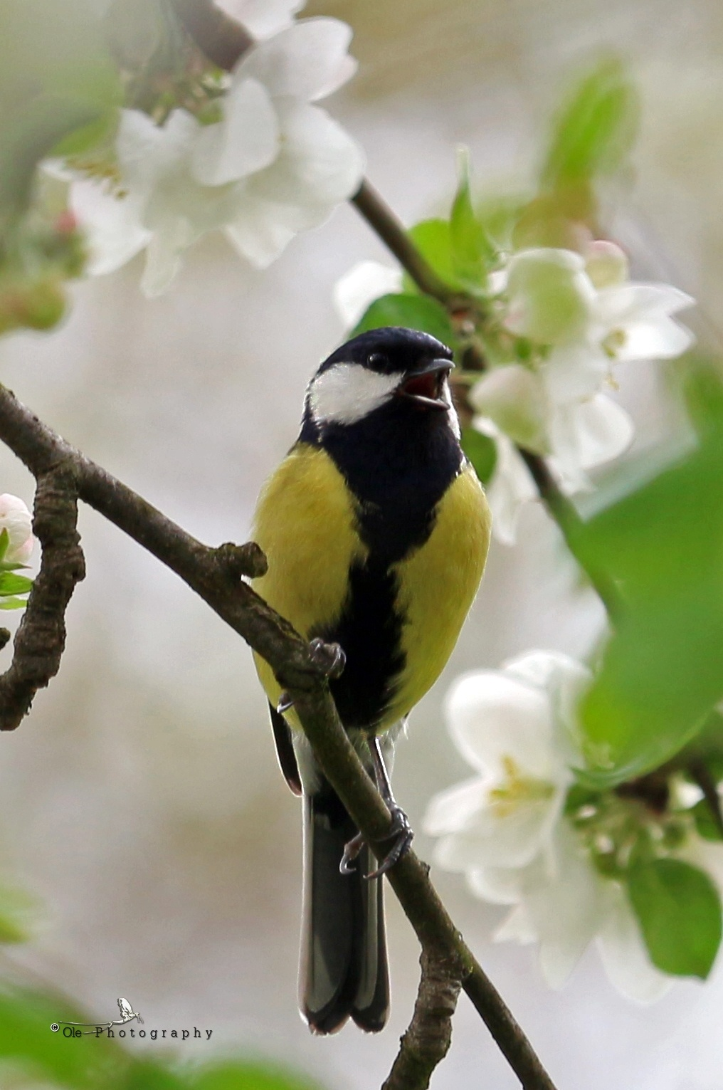 Great tit - Parus major  - male by OlePhotography