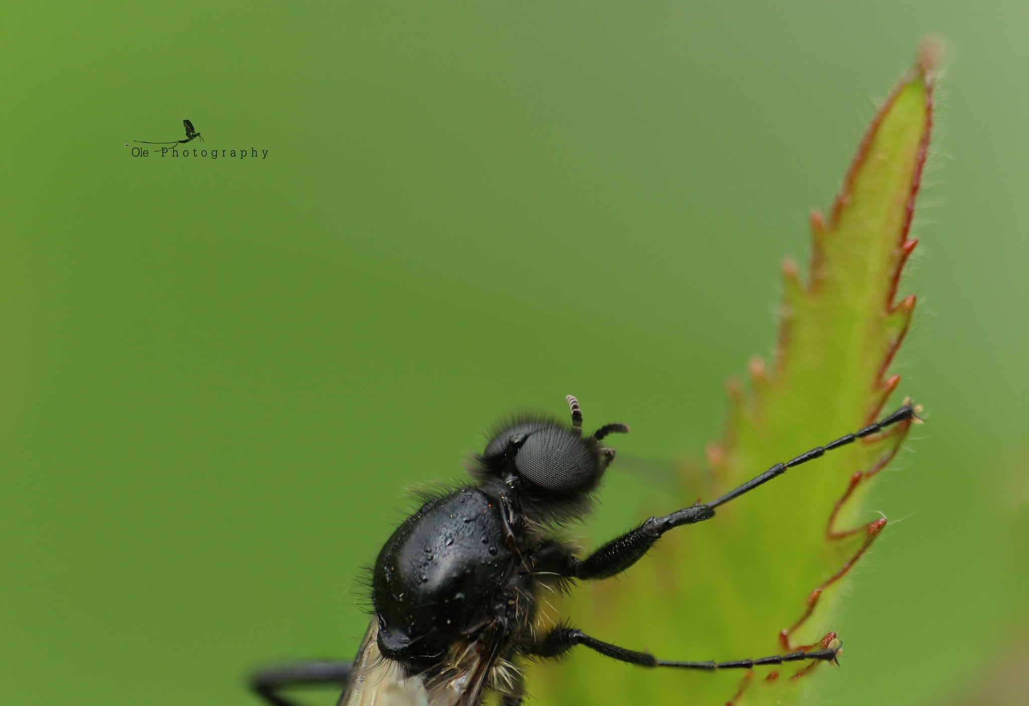 Fruit fly by OlePhotography