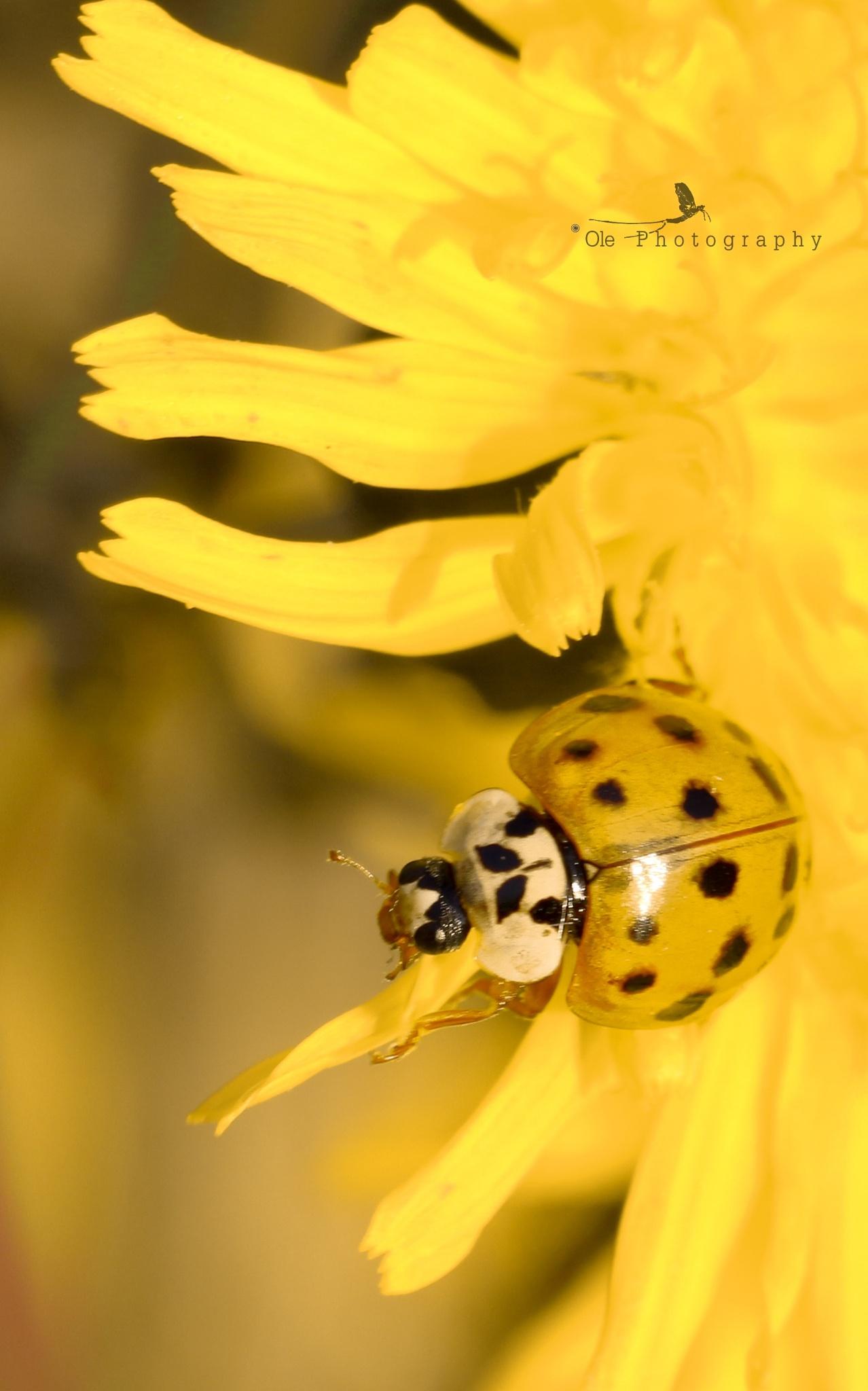 Yelow ladybug by OlePhotography