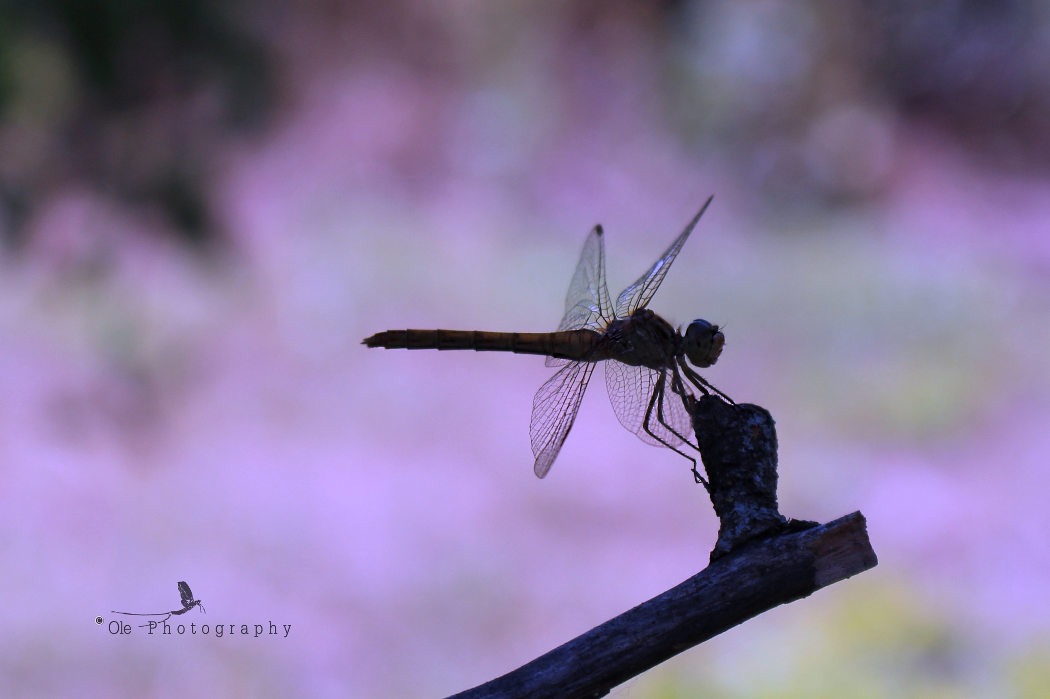 Dragonfly silhouette by OlePhotography