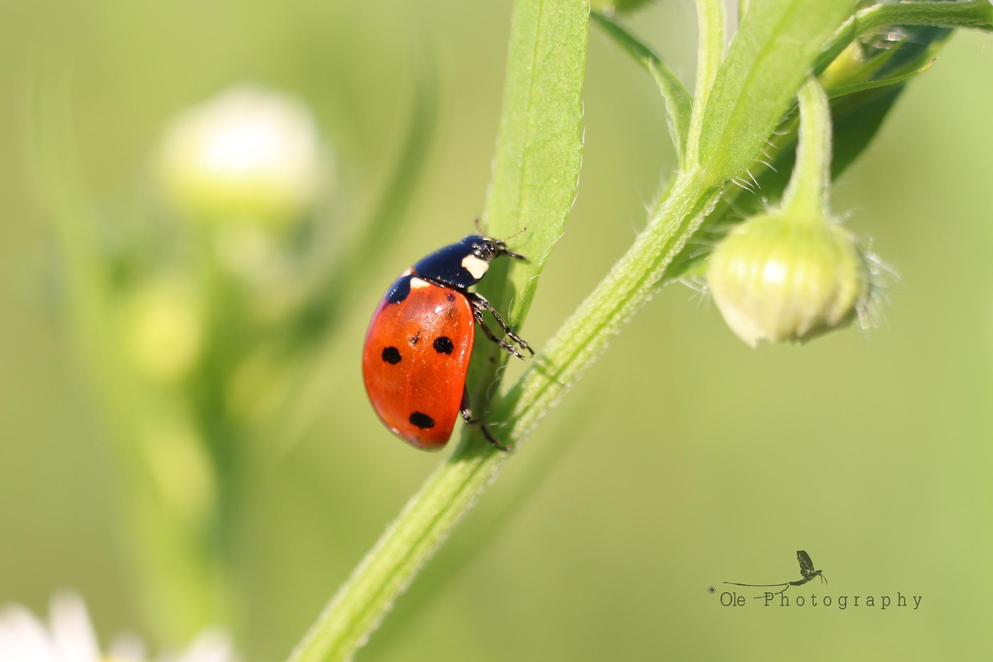 Ladybug - Coccinella septempunctata by OlePhotography