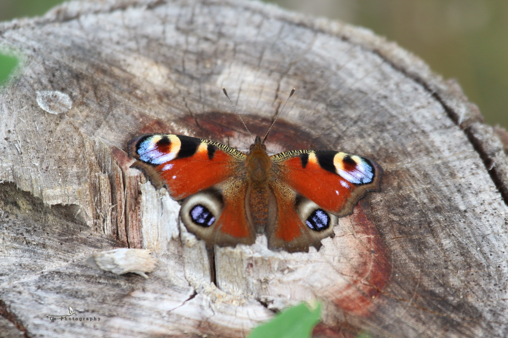 European Peacock Butterfly (Aglais io) by OlePhotography
