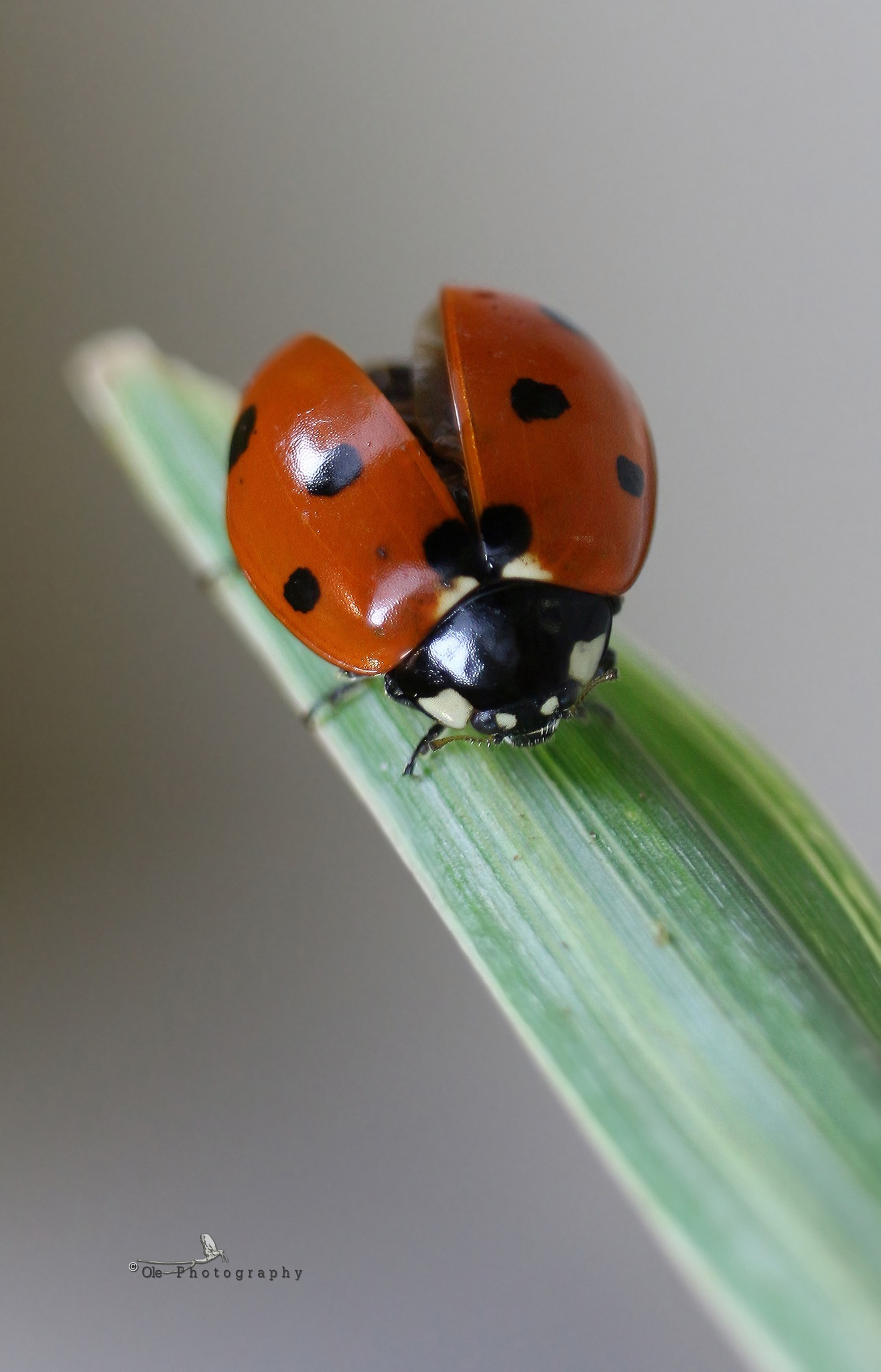 Coccinella septempunctata by OlePhotography