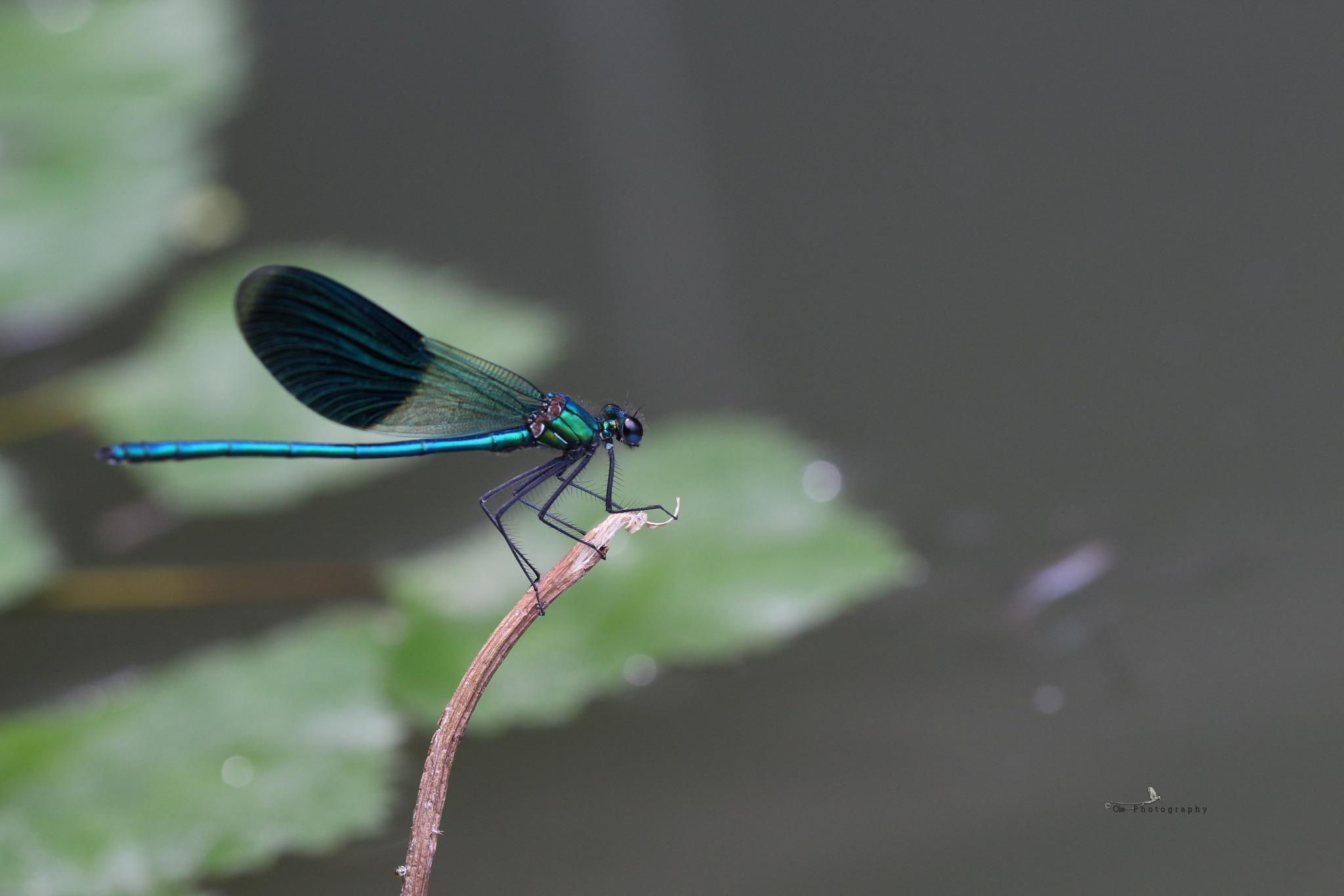 Caleopteryx splendens by OlePhotography