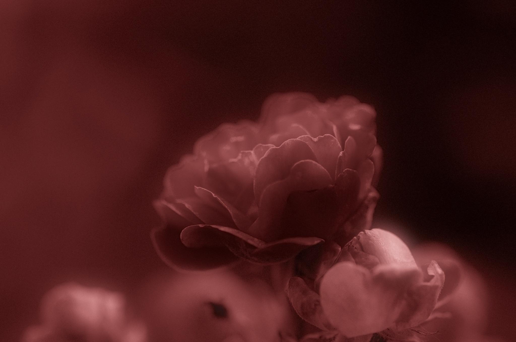 Rose by Captainmorgan1301