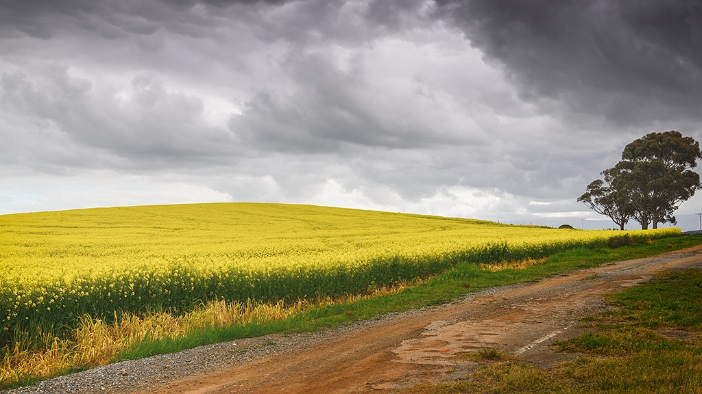 Canola Field by zsthreef