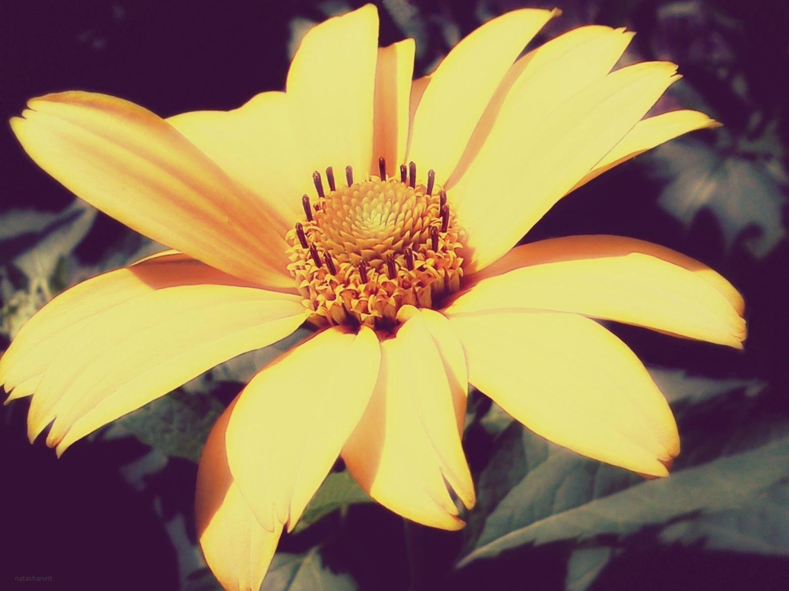 Yellow daisy by natashaneit