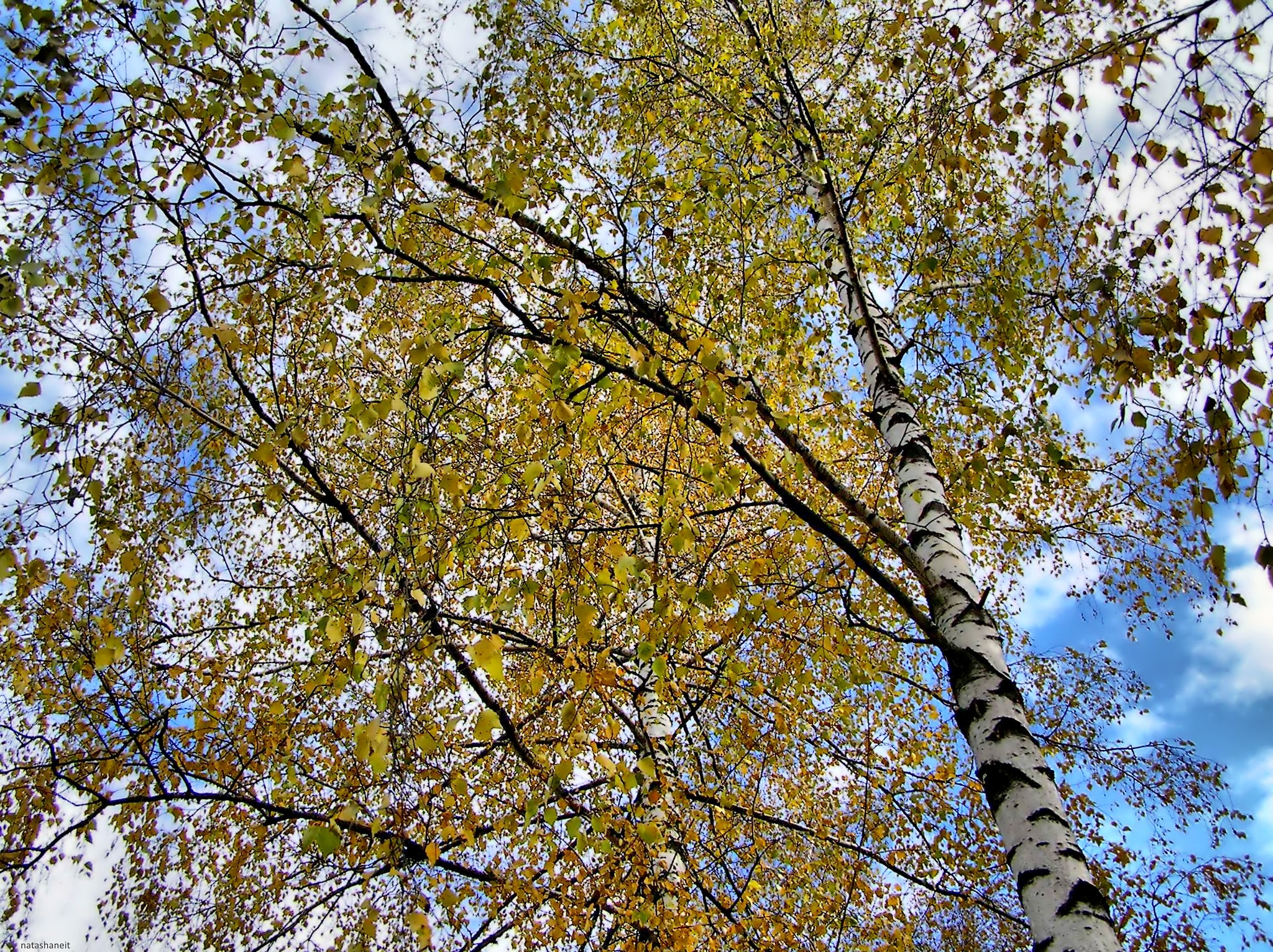 Long branches of birch by natashaneit