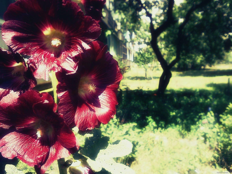 Flowering mallow by natashaneit